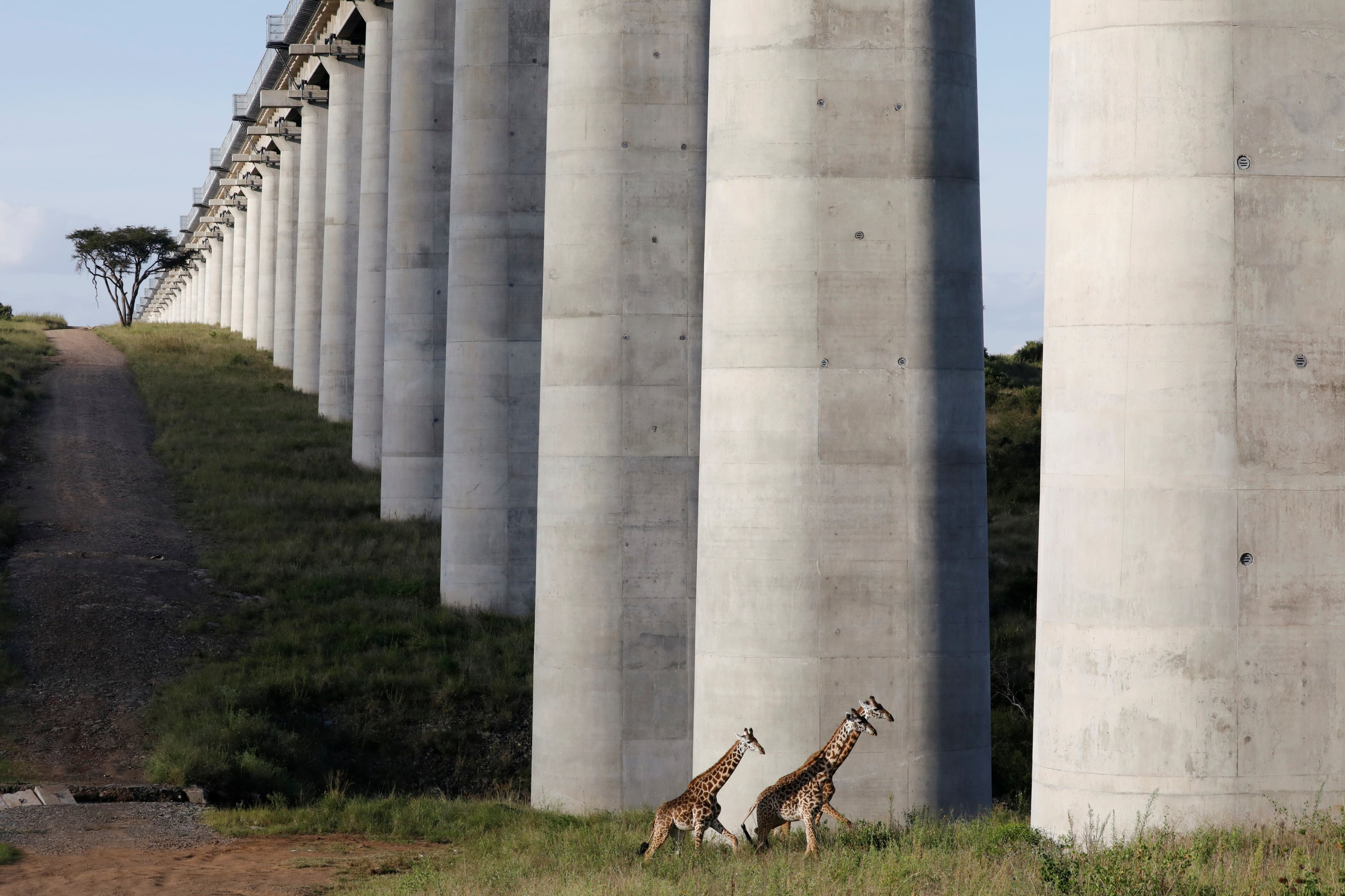 Giraffes cross under a bridge of the Standard Gauge Railway (SGR) line, inside the Nairobi National Park in Nairobi, Kenya, May 25, 2020. (Reuters Photo)