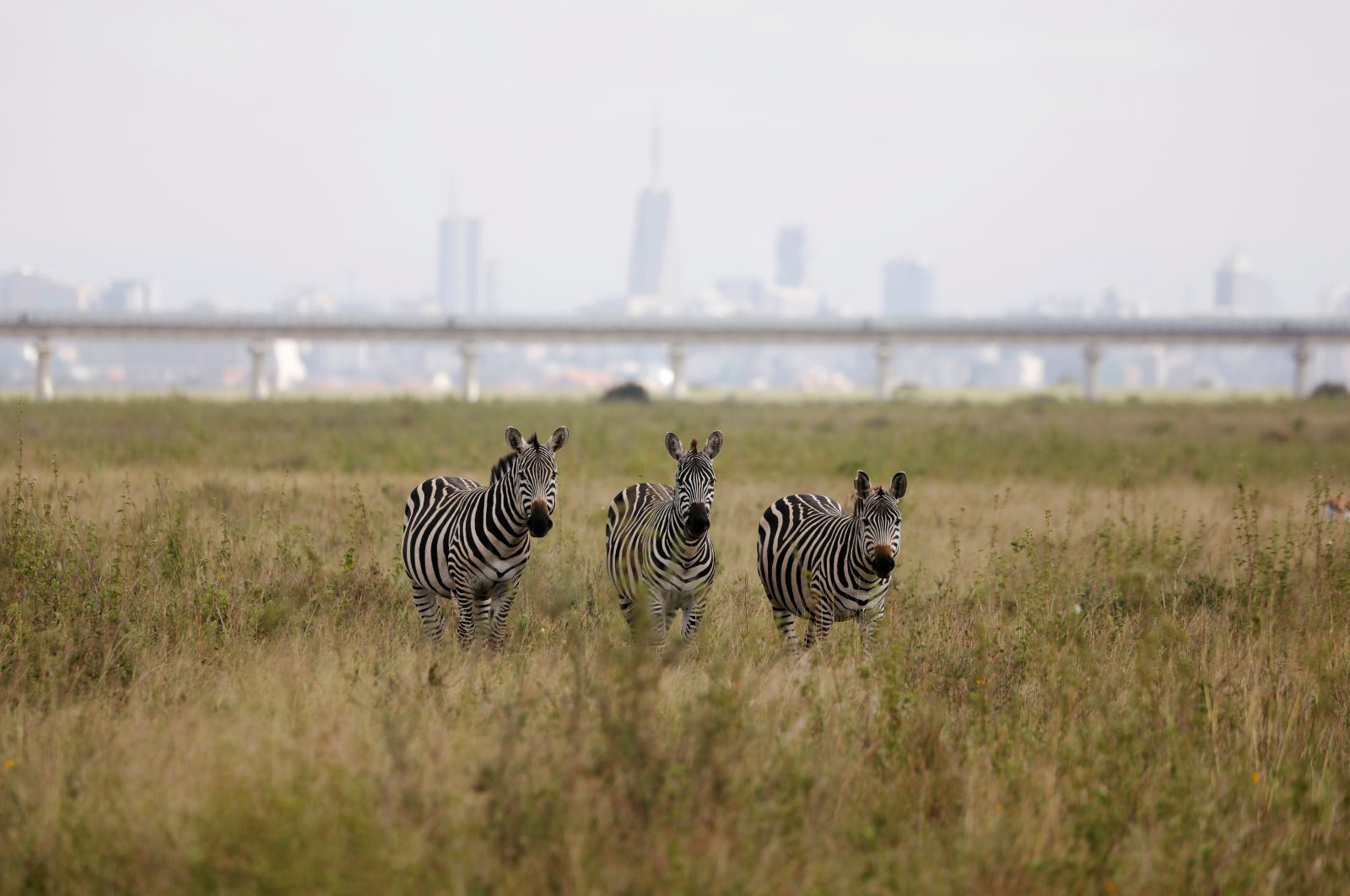 A view of zebras grazing with a bridge of the Standard Gauge Railway (SGR) line in the background, inside the Nairobi National Park in Nairobi, Kenya, June 26, 2020. (Reuters Photo)