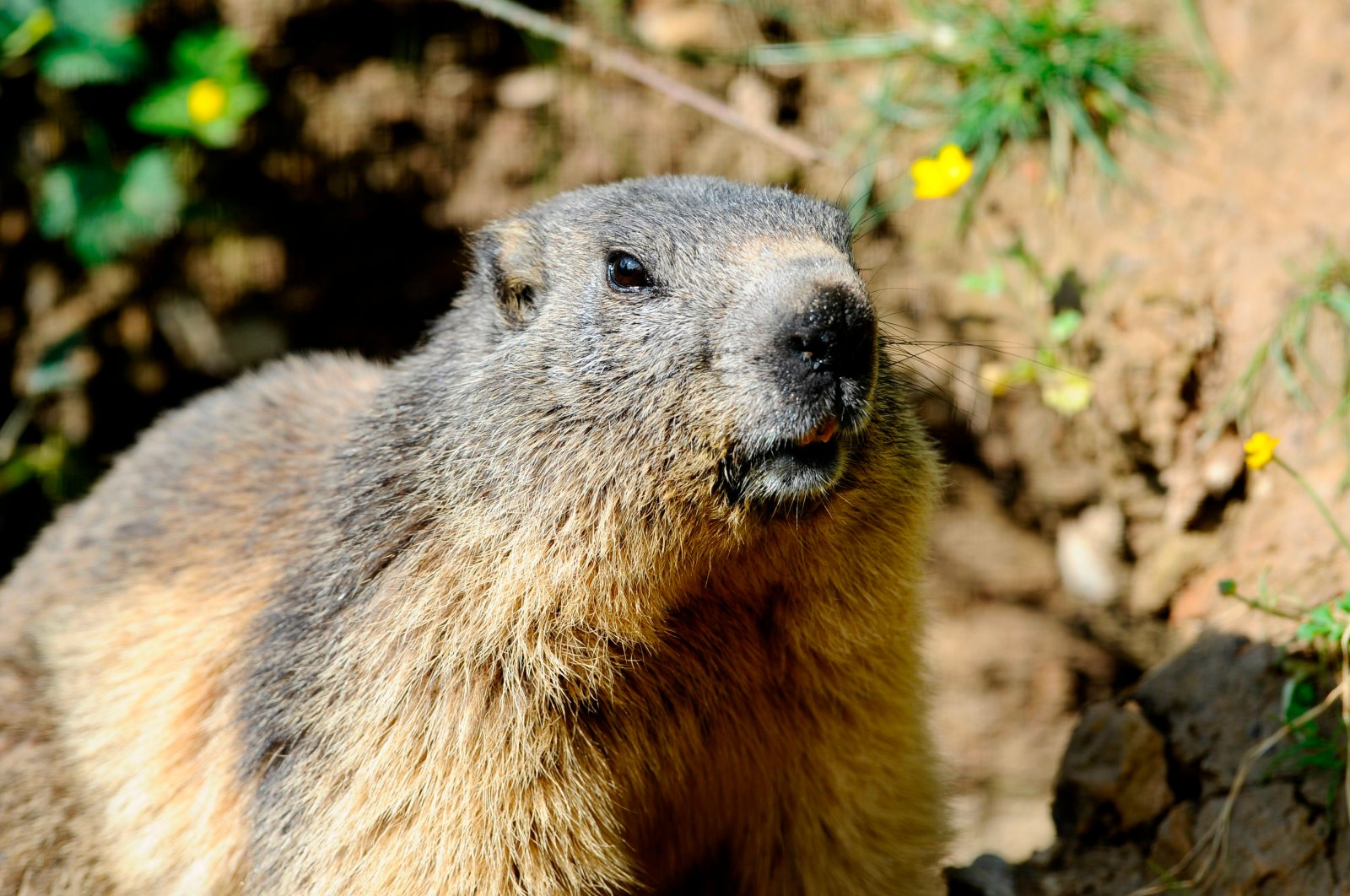 This file photo taken at the Animal Park of Sainte-Croix in Rhodes in eastern France on May 25, 2016, shows a marmot, an animal Russian authorities have warned against hunting due to the risk of contracting the bubonic plague. (AFP Photo)