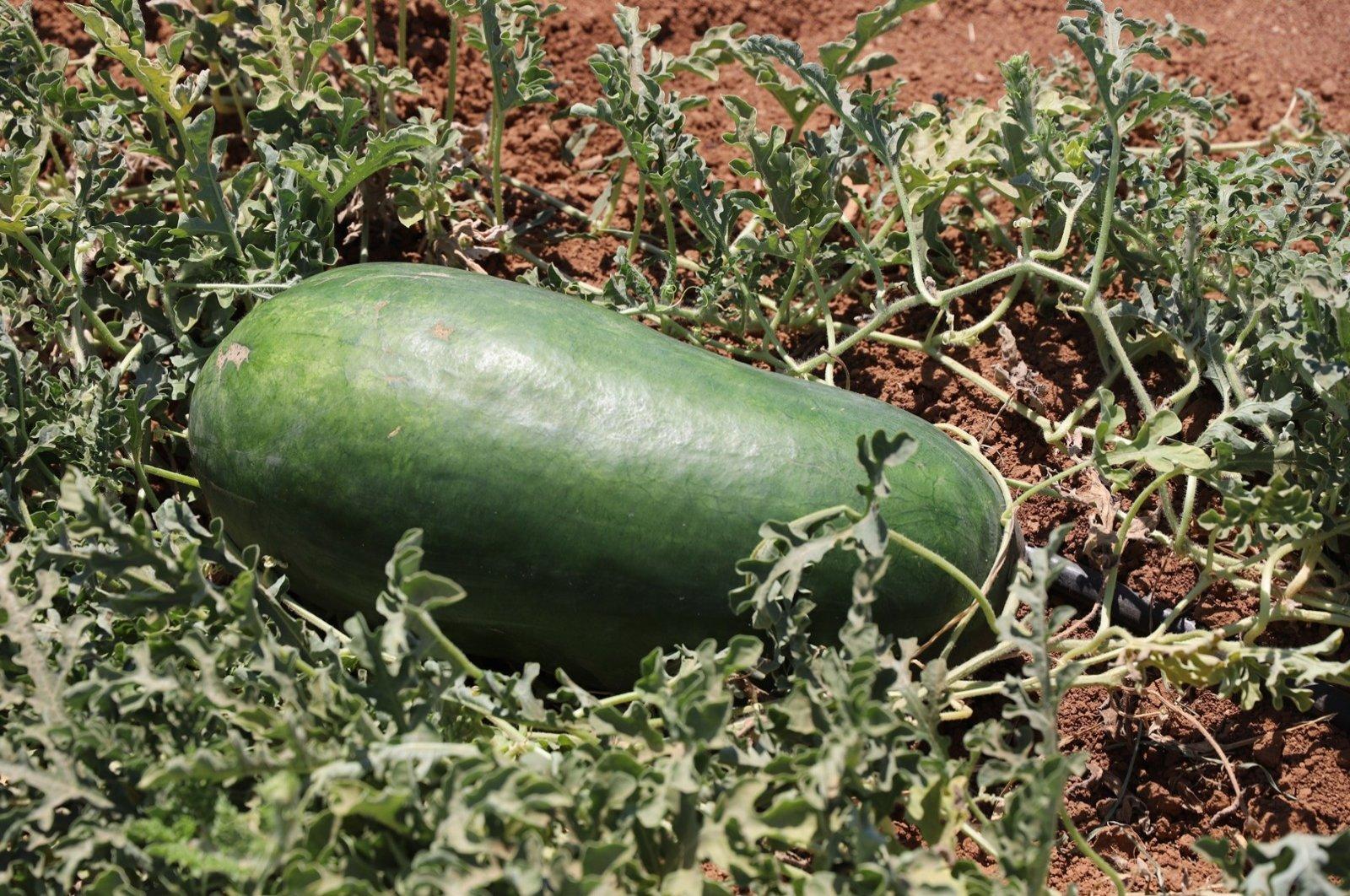 The tat karpuzu of Şanlıurfa looks and tastes different than the watermelons of Diyarbakır. (DHA Photo)