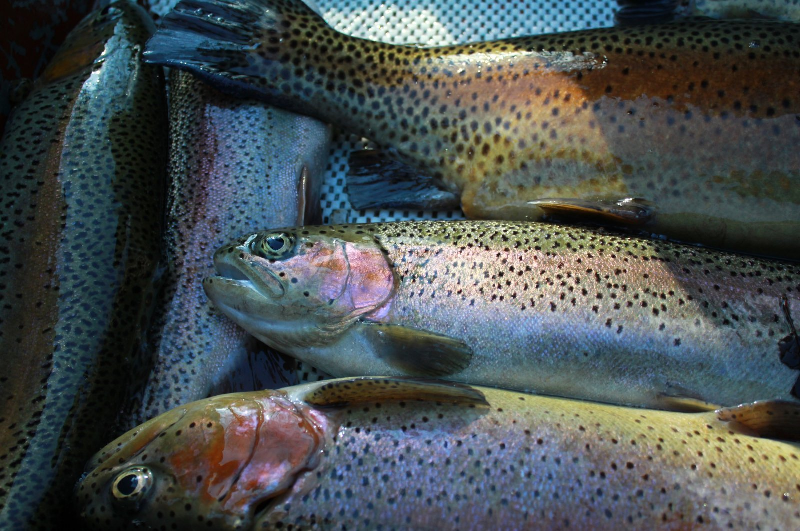 A veterinary professor at Bursa Uludağ University, and his team discovered the bacterium that can cause disease in rainbow trout, July 16, 2020. (DHA)