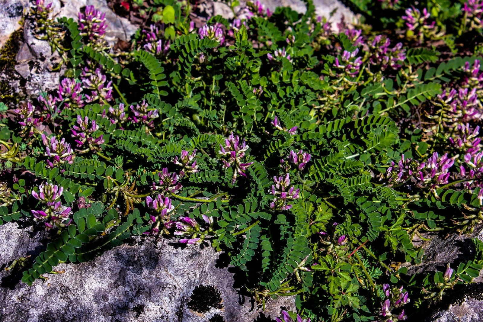 Astragalus bartinense grows in rocky habitats and acts as a groundcover, Bartın province, northern Turkey, July 19, 2020. (AA Photo)