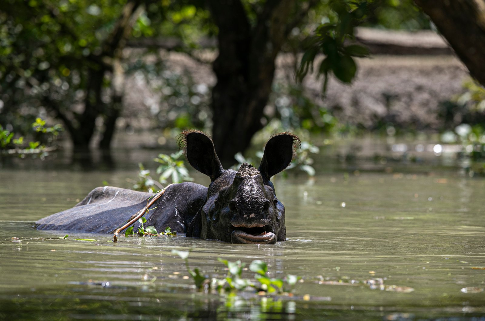 A one-horned rhinoceros wades through floodwater at the Pobitora wildlife sanctuary in Pobitora, Morigaon district, Assam, India, July 16, 2020. (AP Photo)