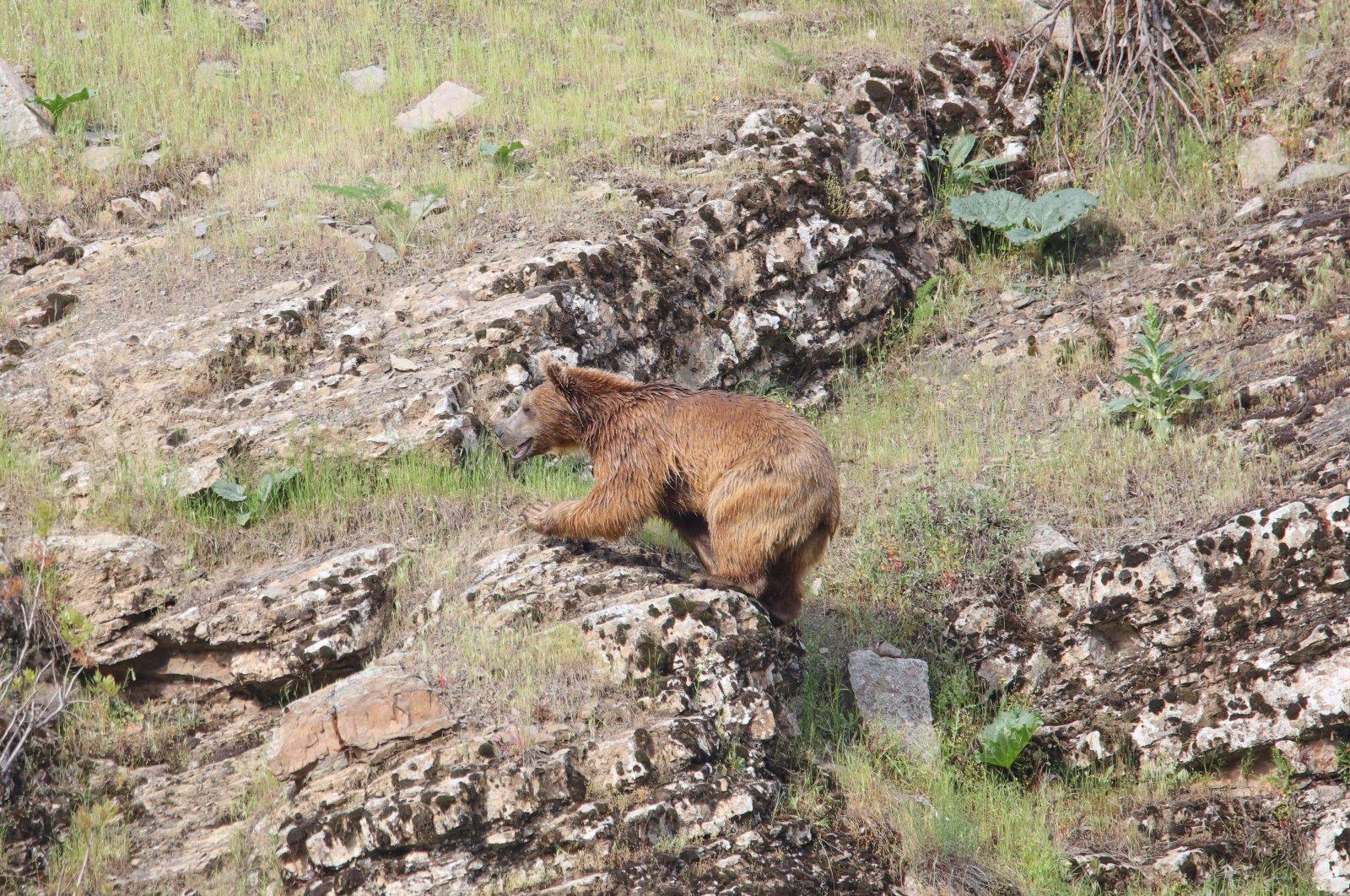 A bear is seen near a village in Hakkari province in southeastern Turkey, July 19, 2020. (AA Photo)
