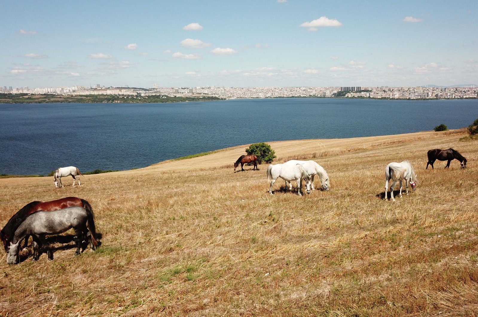 Horses roam in a pasture owned by Istanbul University, Istanbul, Turkey, July 20, 2020. (DHA Photo)
