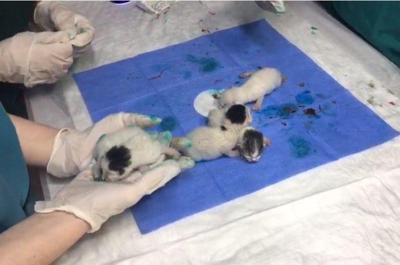 The kittens after the surgery, Kastamonu, northern Turkey, July 20, 2020. (AA Photo)