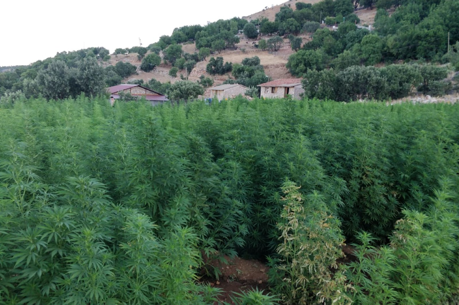 A cannabis field raided by security forces in Diyarbakır province, southeastern Turkey, July 21, 2020. (AA Photo)