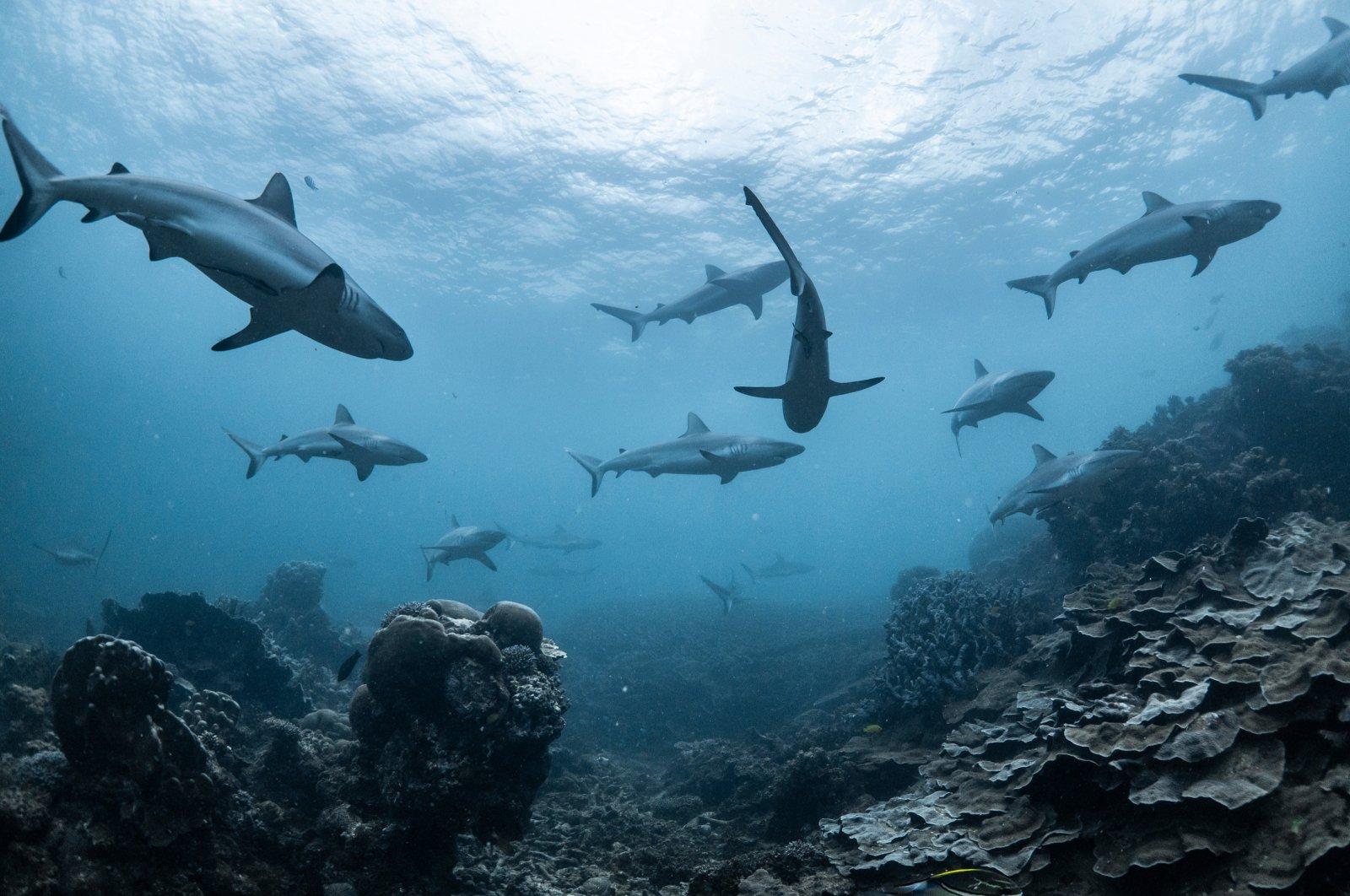 Schooling grey reef sharks in Ningaloo reef, Western Australia (Shutterstock Photo)
