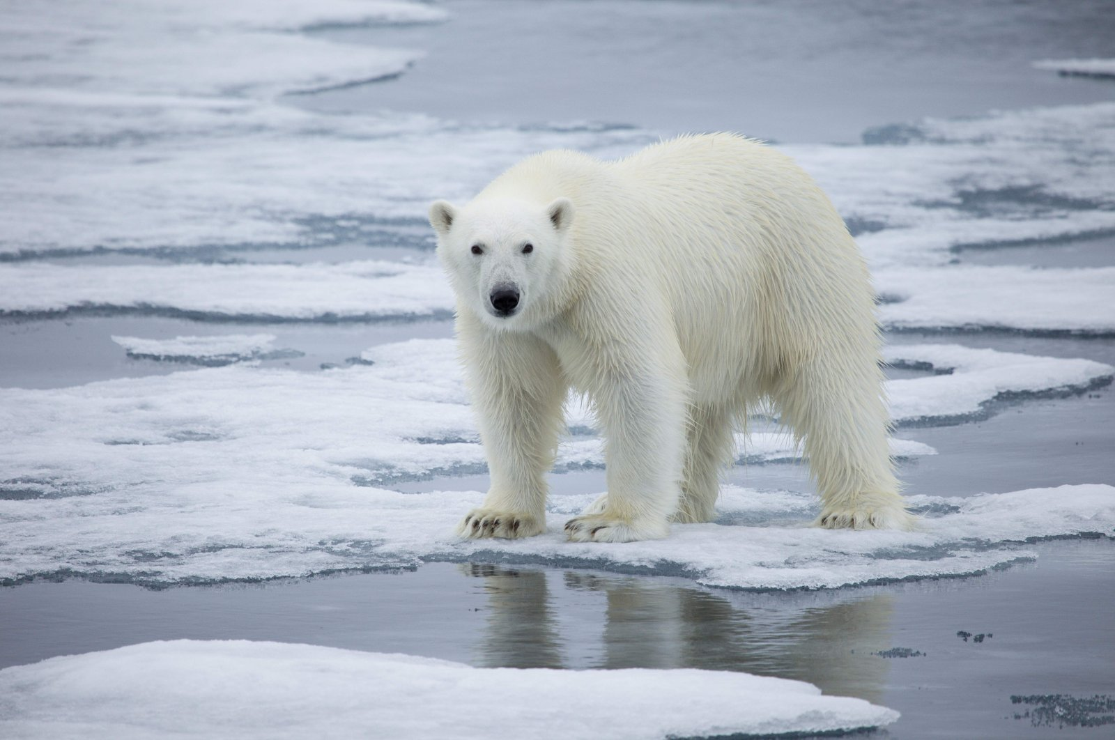 A handout photo made available on July 17, 2020 by Polar Bears International shows a polar bear standing on melting sea ice in Svalbard, Norway, in 2013. (AFP Photo)