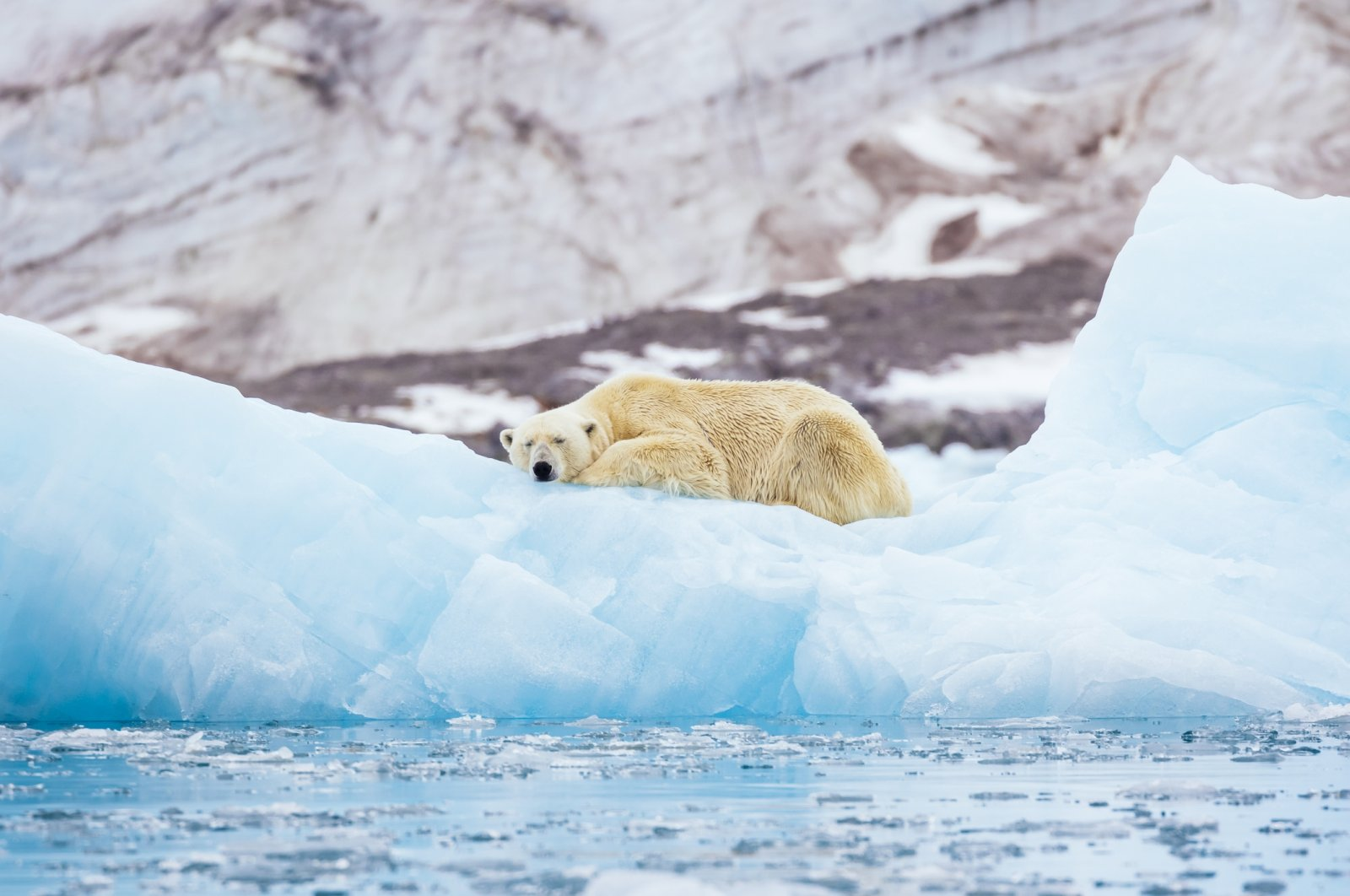 The study warns that climate change is starving polar bears into extinction. (iStock Photo)