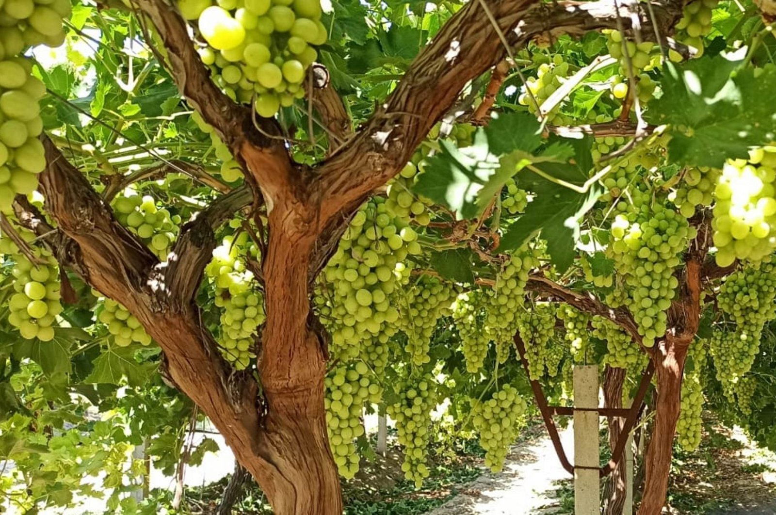 Grapevines are seen in a vineyard in Manisa province in the Aegean region of Turkey, July 20, 2020. (IHA Photo)
