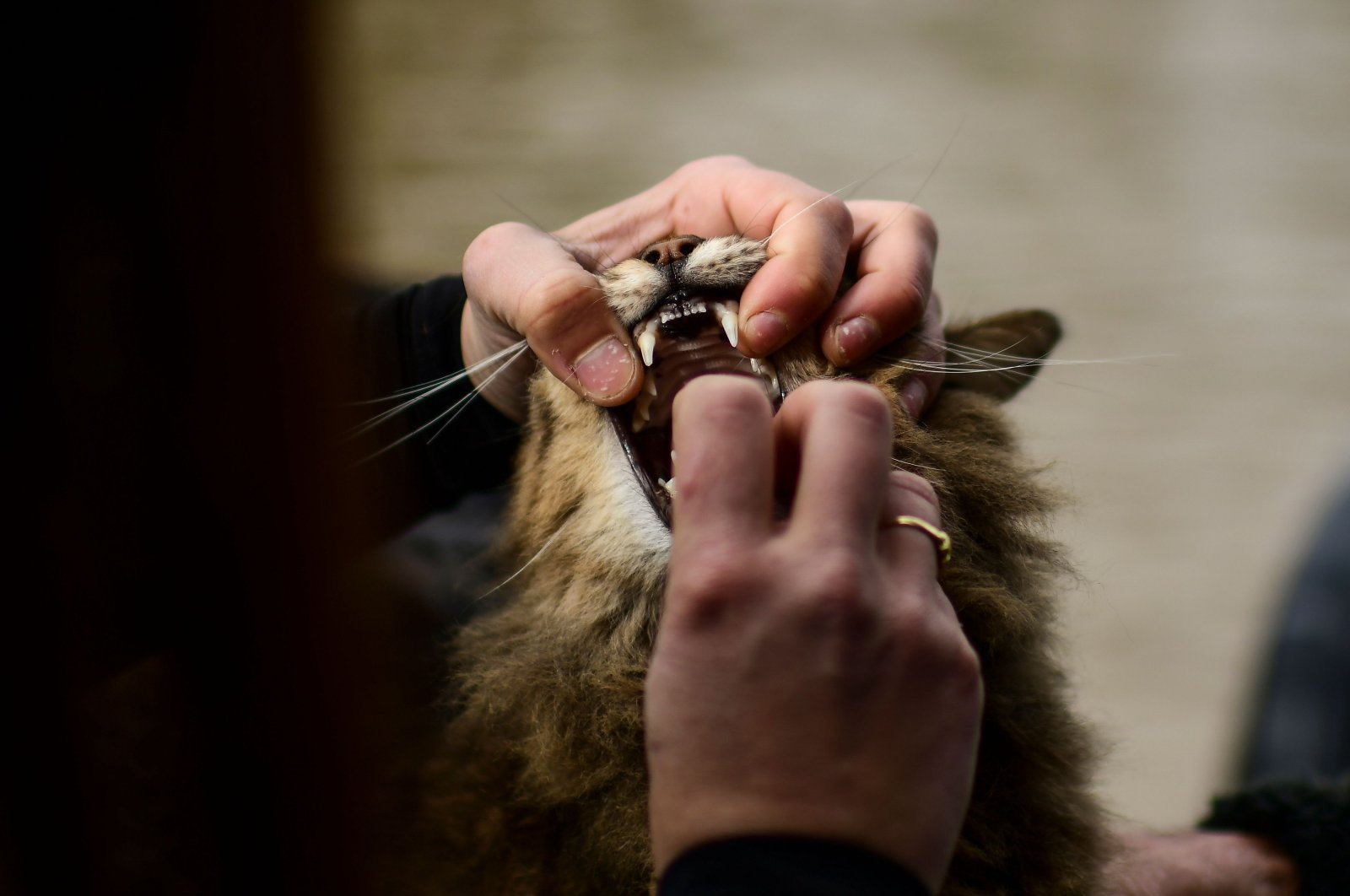 Argentine veterinarian Leila Peluso takes care of a cat on her boat on the Sarmiento River in the Parana Delta, in the municipality of Tigre, Buenos Aires Province, on July 24, 2020, as she provides assistance to pets and farm animals in the area amid the COVID-19 novel coronavirus pandemic. (AFP Photo)