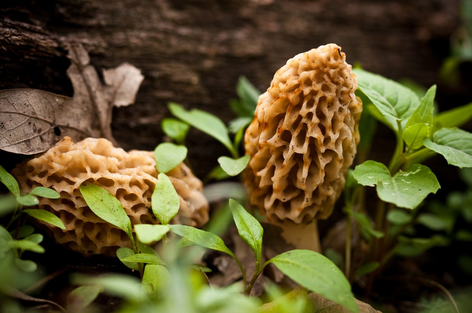 Grown in forests, morels are one of the most desired wild mushrooms in the world. (iStock Photo)