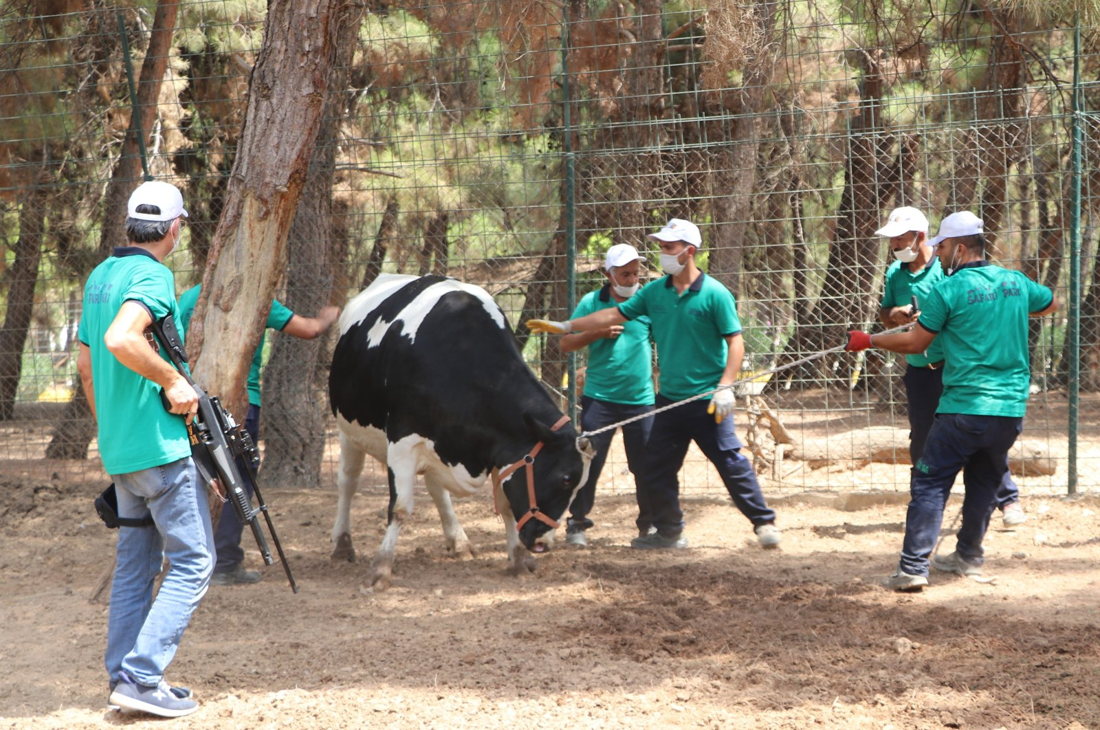 Animal catchers restrain a bull during a training session, in Gaziantep, southern Turkey, July 28, 2020. (DHA Photo)