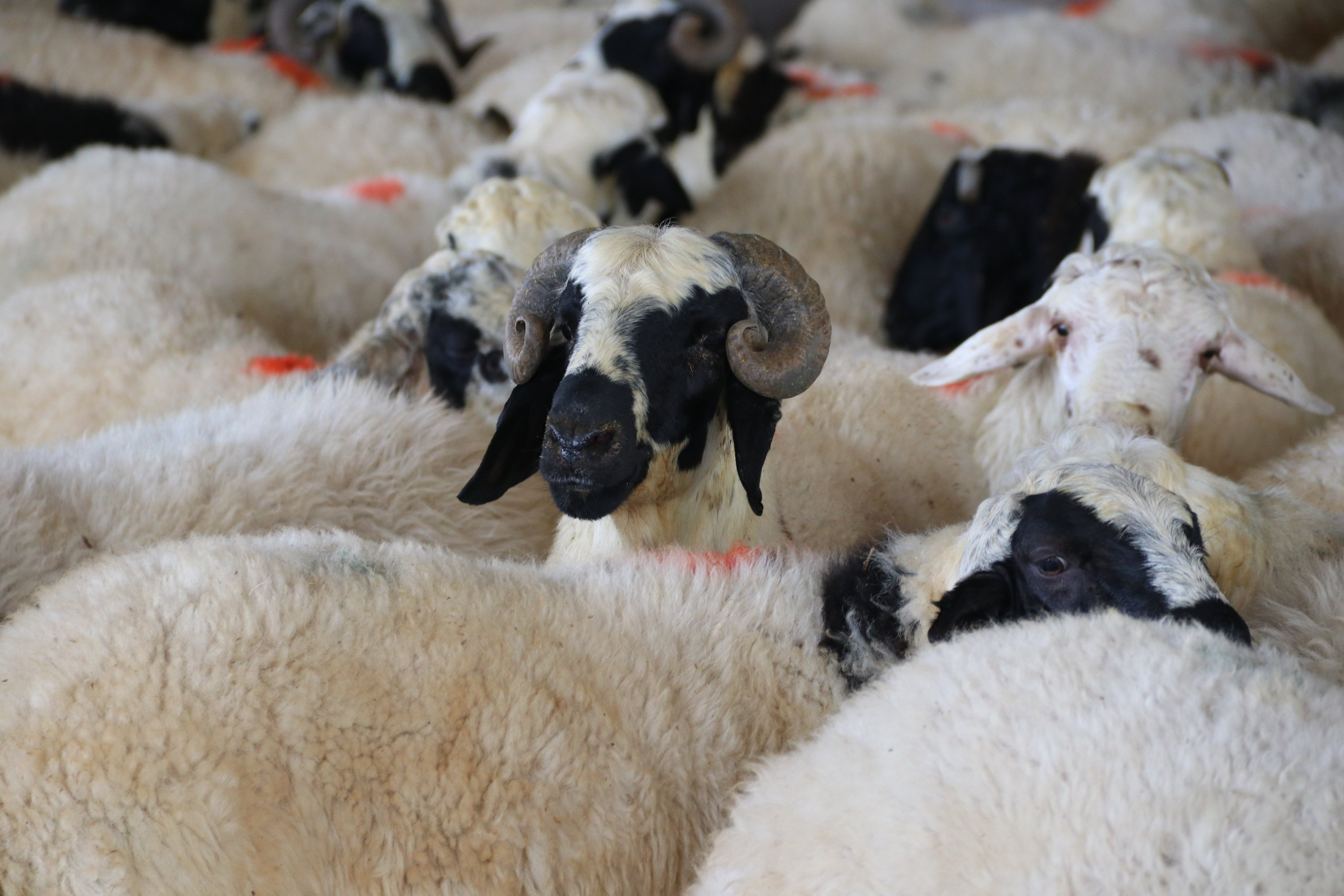 Sacrificial sheep are seen at an animal market in Diyarbakır, southeastern Turkey on July 29, 2020. (AA Photo)