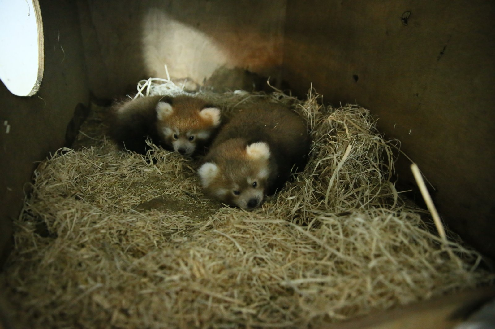 Two red panda cubs rest in their home in the zoo, in Kocaeli, northwestern Turkey, July 30, 2020. (AA Photo)