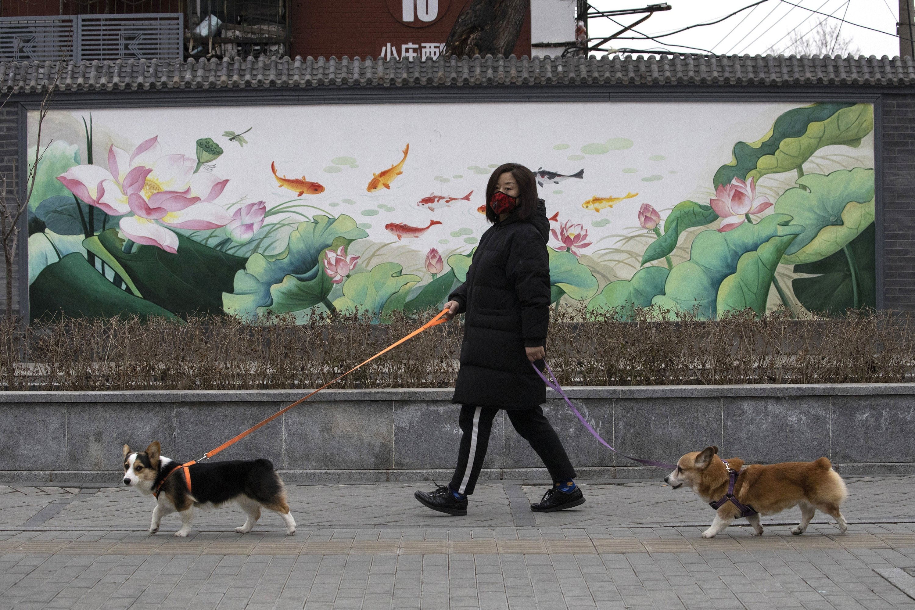 A resident wearing a mask walks her dogs in Beijing, China, Feb. 25, 2020. (AP Photo)