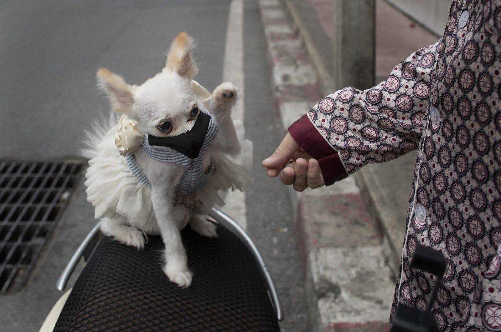 """A pet dog named """"Money,"""" wearing a pet face mask, plays with her owner in Bangkok, Thailand, June 4, 2020. (AP Photo)"""