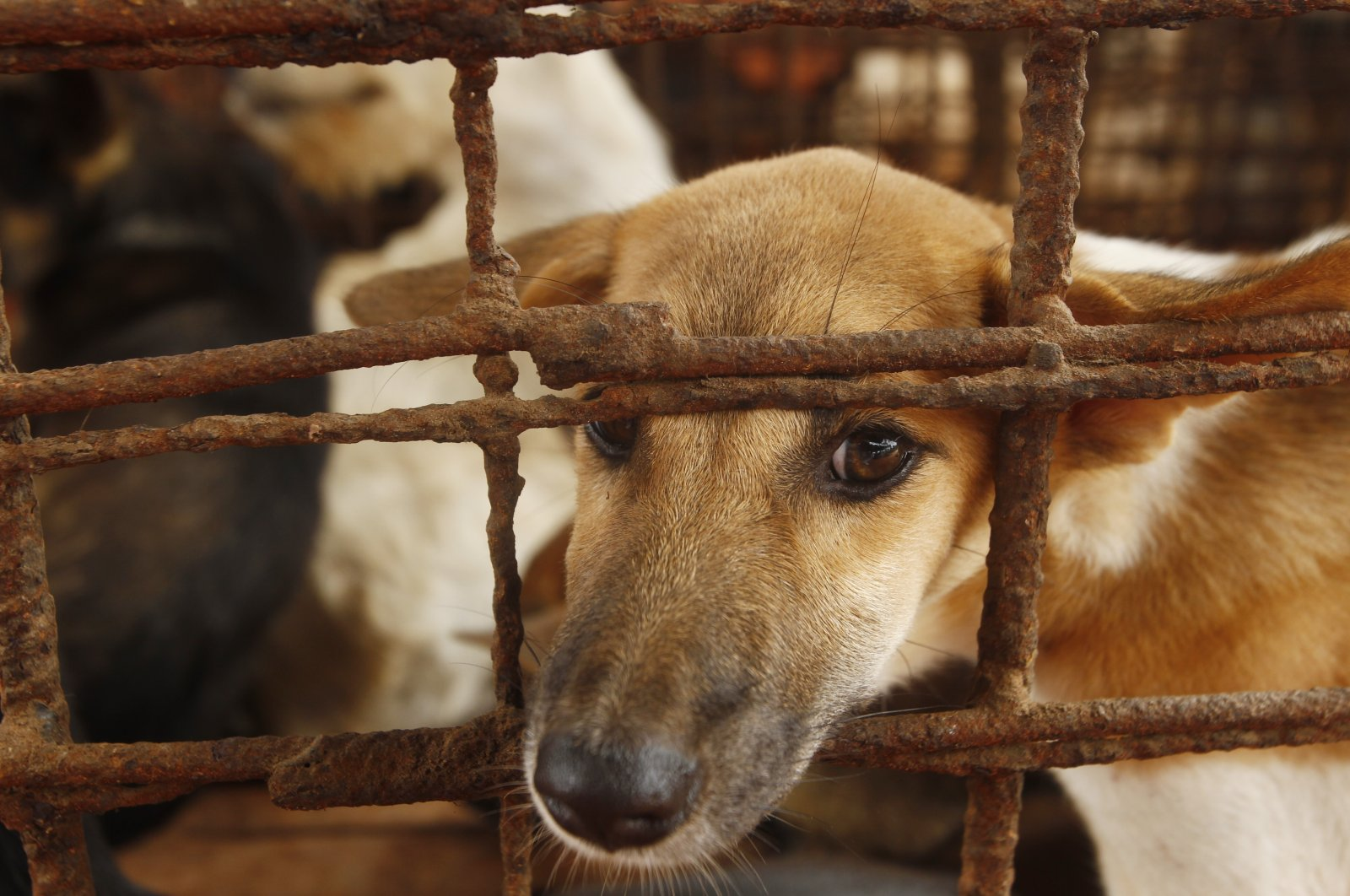 Dogs lay in a cage in a slaughterhouse as they wait for the FOUR PAWS International, rescue them at Chi Meakh village in Kampong Thom province north of Phnom Penh, Cambodia, Wednesday, Aug. 5, 2020. (AP Photo)