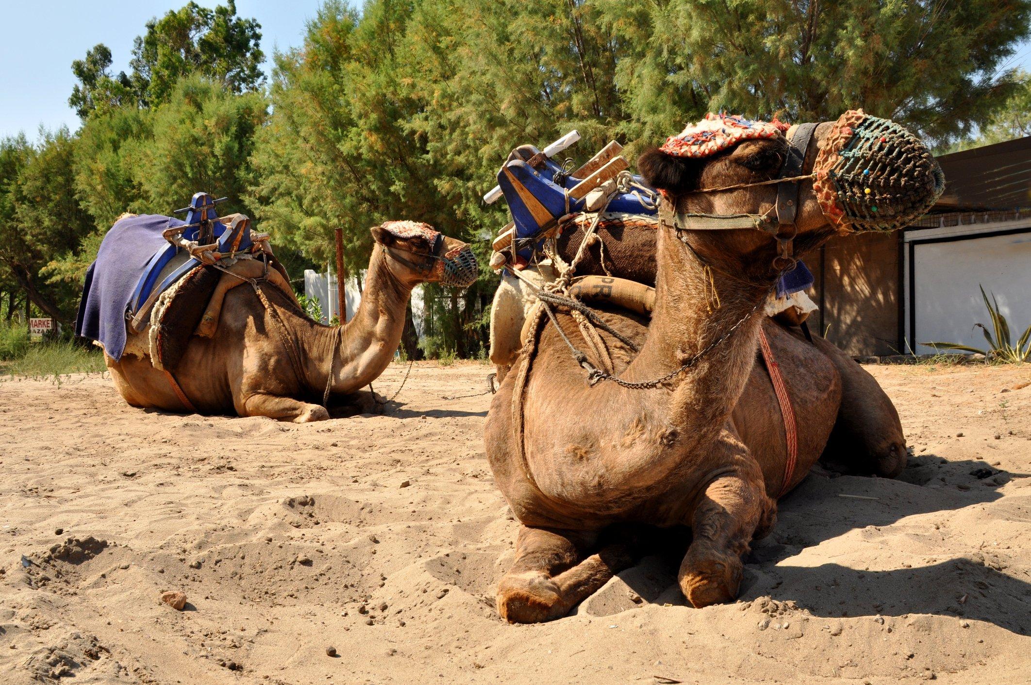 Som navnet tilsier, har Camel Beach faktisk sine helt egne kameler.  (iStock Photo)