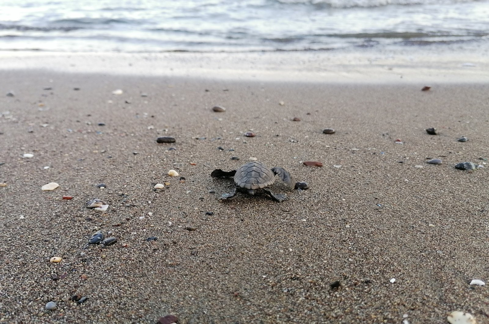 A baby turtle heads to sea on a beach in Mersin, southern Turkey, Aug. 7, 2020. (DHA Photo)