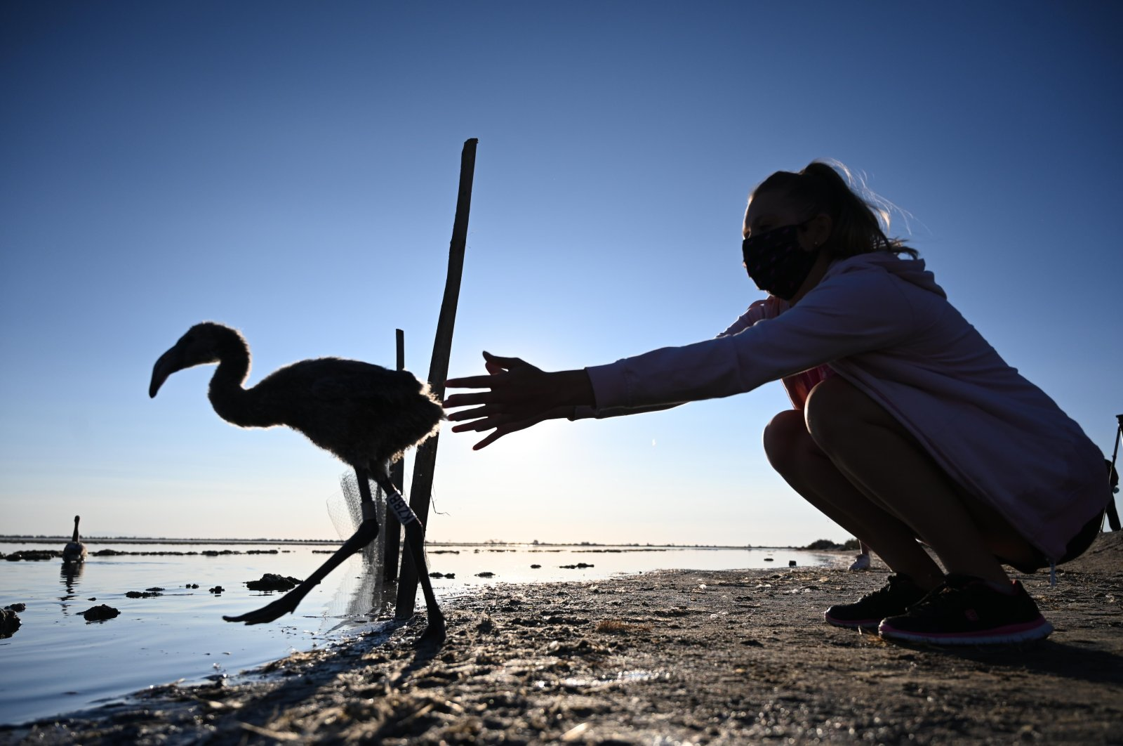 A volunteer releases a flamingo chick in Aigues-Mortes, near Montpellier, southern France, on Aug. 5, 2020. (AFP Photo)