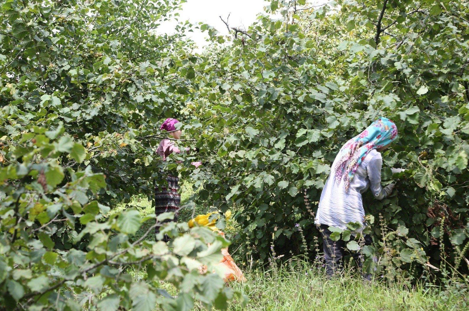 Seasonal workers pick hazelnuts in a field in the Black Sea province of Ordu, Turkey, Aug. 9, 2020. (IHA Photo)
