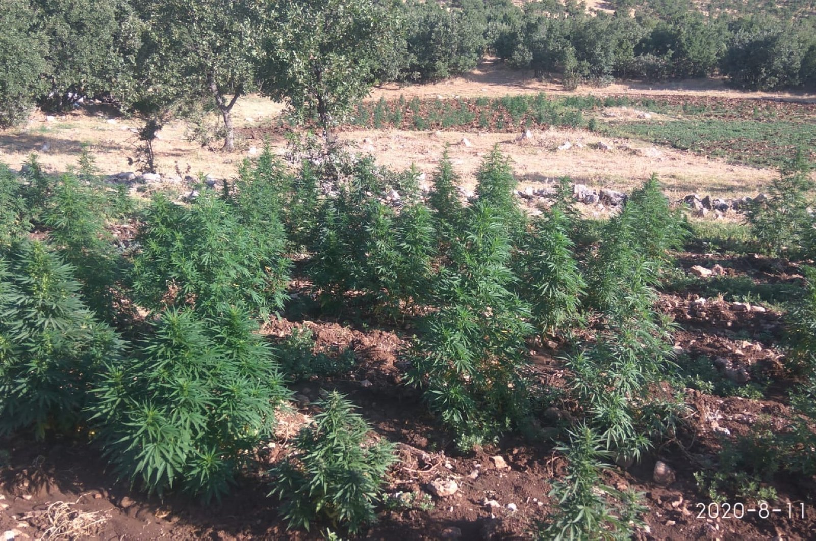 View of a cannabis field, in Diyarbakır, southeastern Turkey, Aug. 11, 2020. (AA Photo)