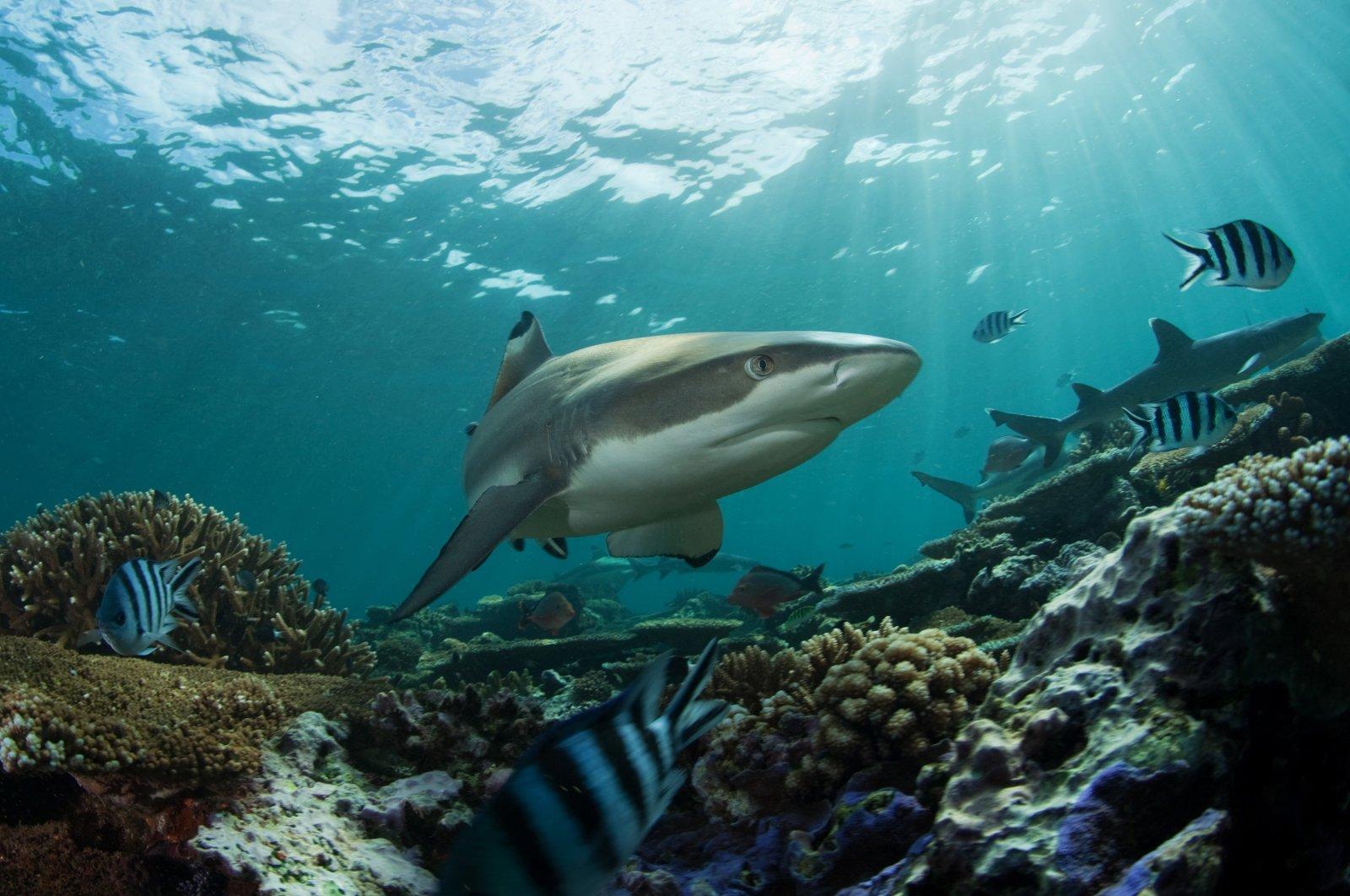 A reef shark in an undated photo. (Shutterstock Photo)