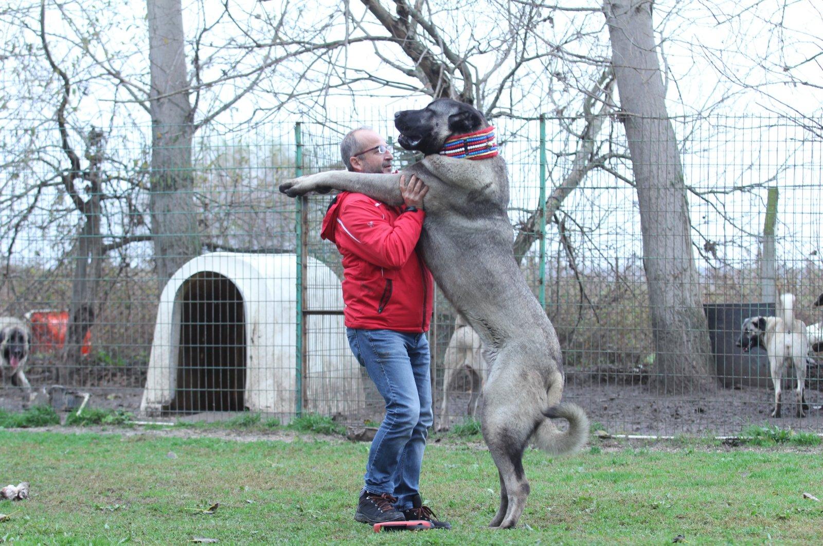 An owner embraces his Kangal Shepherd Dog at a ranch in Bursa, northwestern Turkey, Nov. 23, 2018. (İHA Photo)