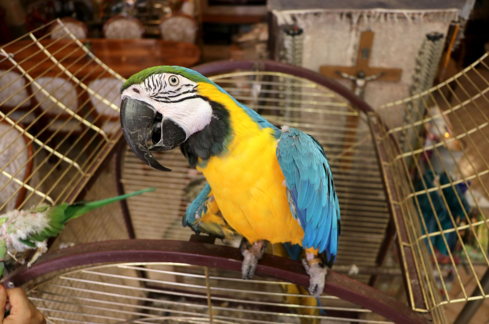 Meet Cabbar, a 15-year-old macaw who has been the host of Kaleoğlu Cave cafe for the last 10 years. (AA Photo )