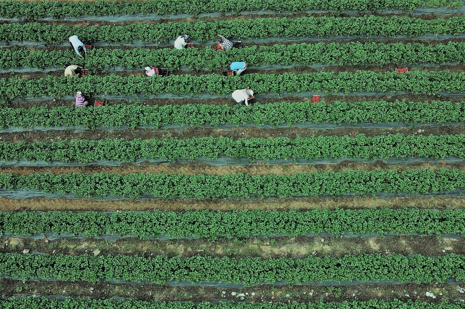 Farmers work in a strawberry field in southern Turkey's Kahramanmaraş province, May 27, 2020. (AA Photo)