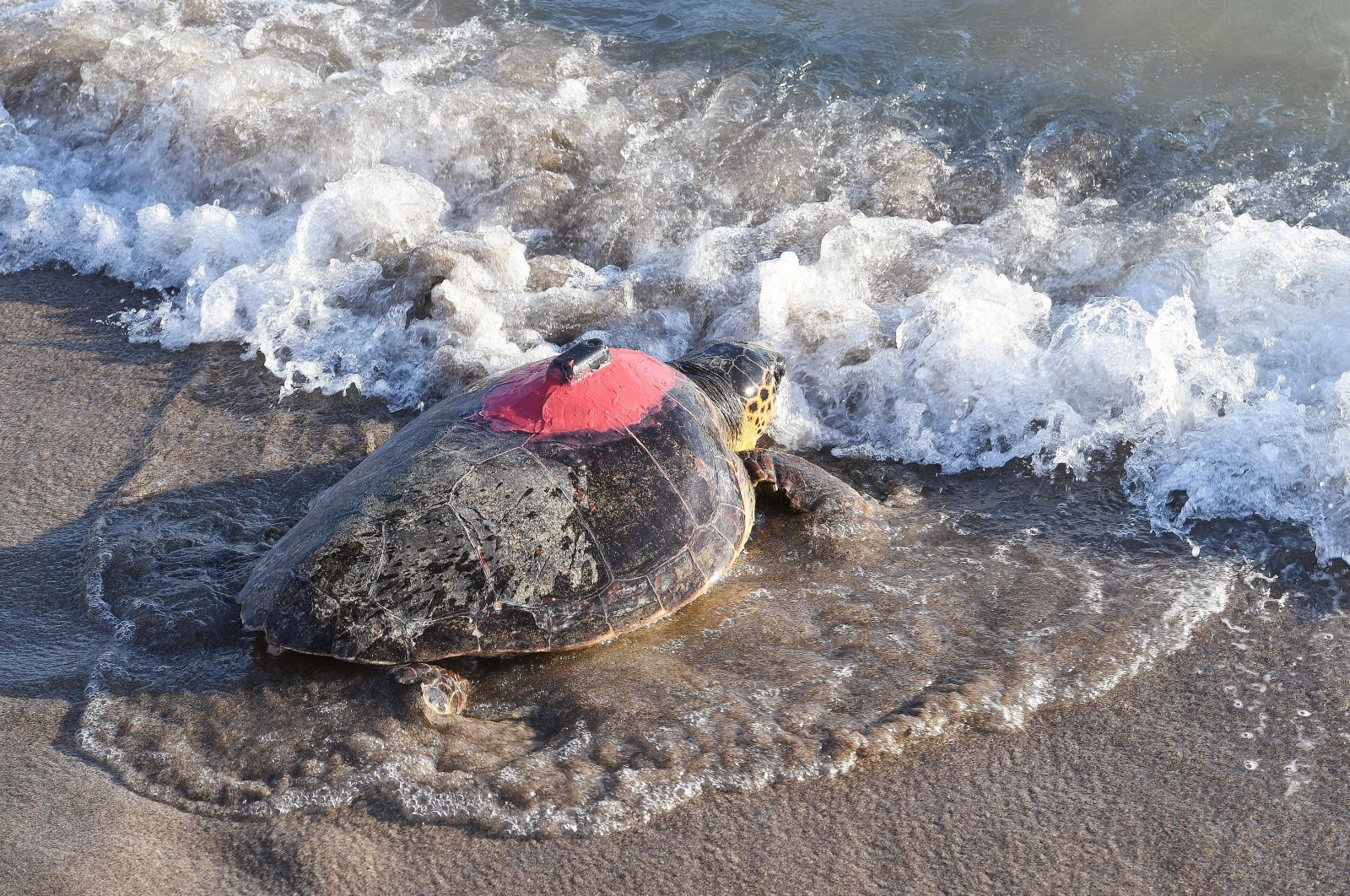 A sea turtle fitted with a chip heads to the sea, in Antalya, southern Turkey, Aug. 19, 2020. (İHA Photo)
