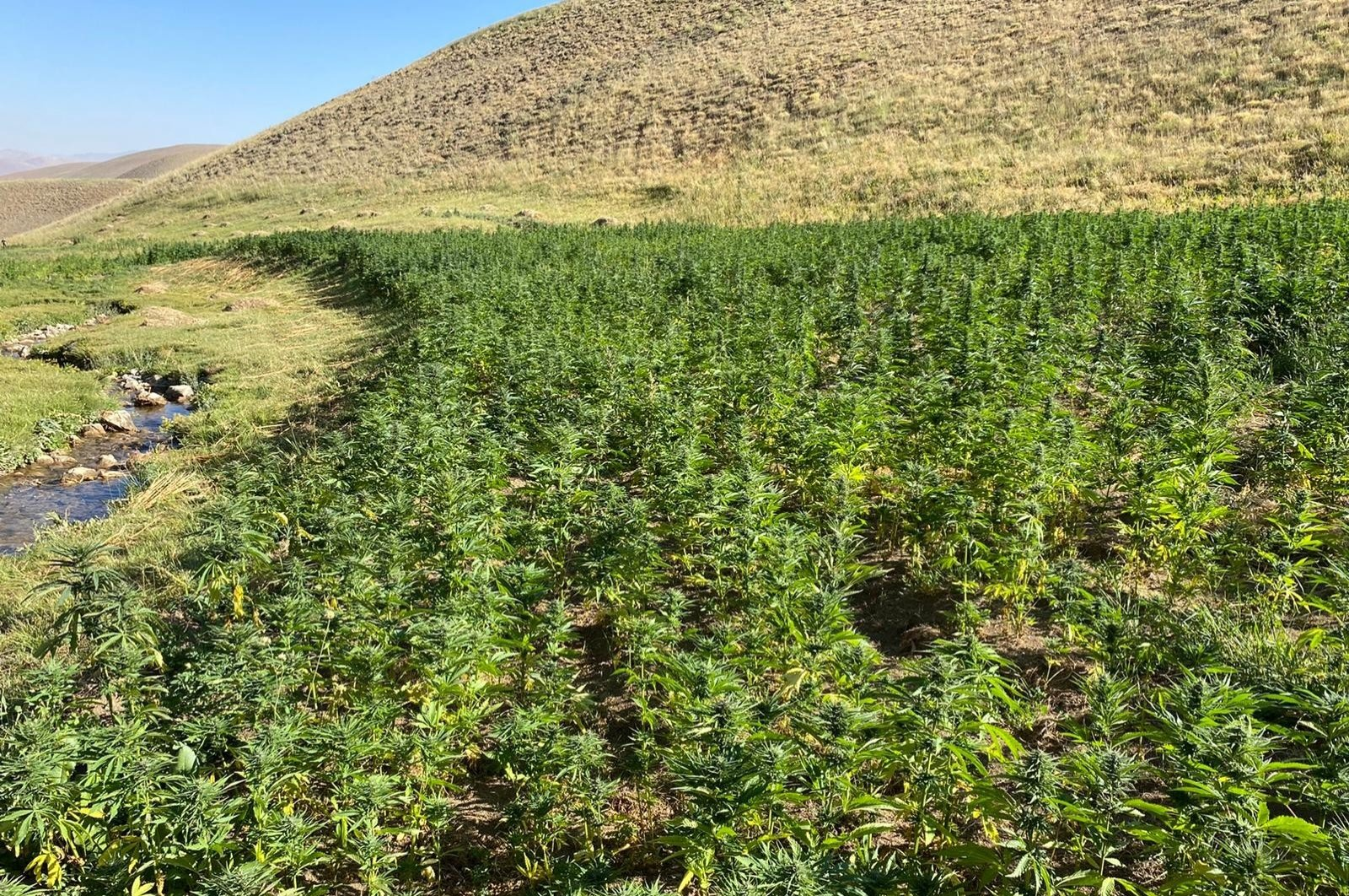 Seized cannabis gardens in the countryside of Van province, Aug. 22, 2020. (IHA Photo)