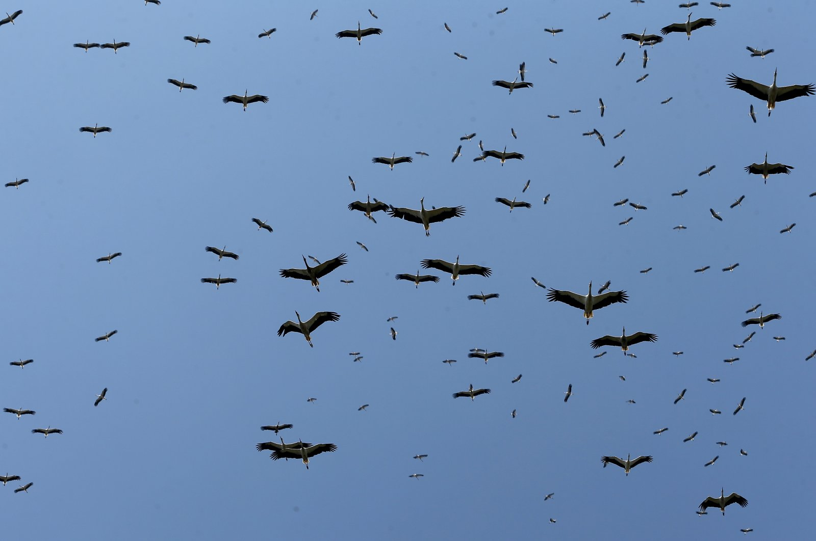 Storks flying over Istanbul, Turkey, Aug. 22, 2020. (AA Photo)