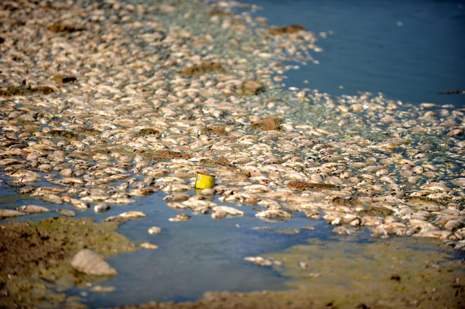 A view of the fish washed ashore at Hasköy Lake in Bursa province in northwestern Turkey, Aug. 26, 2020. (DHA Photo)