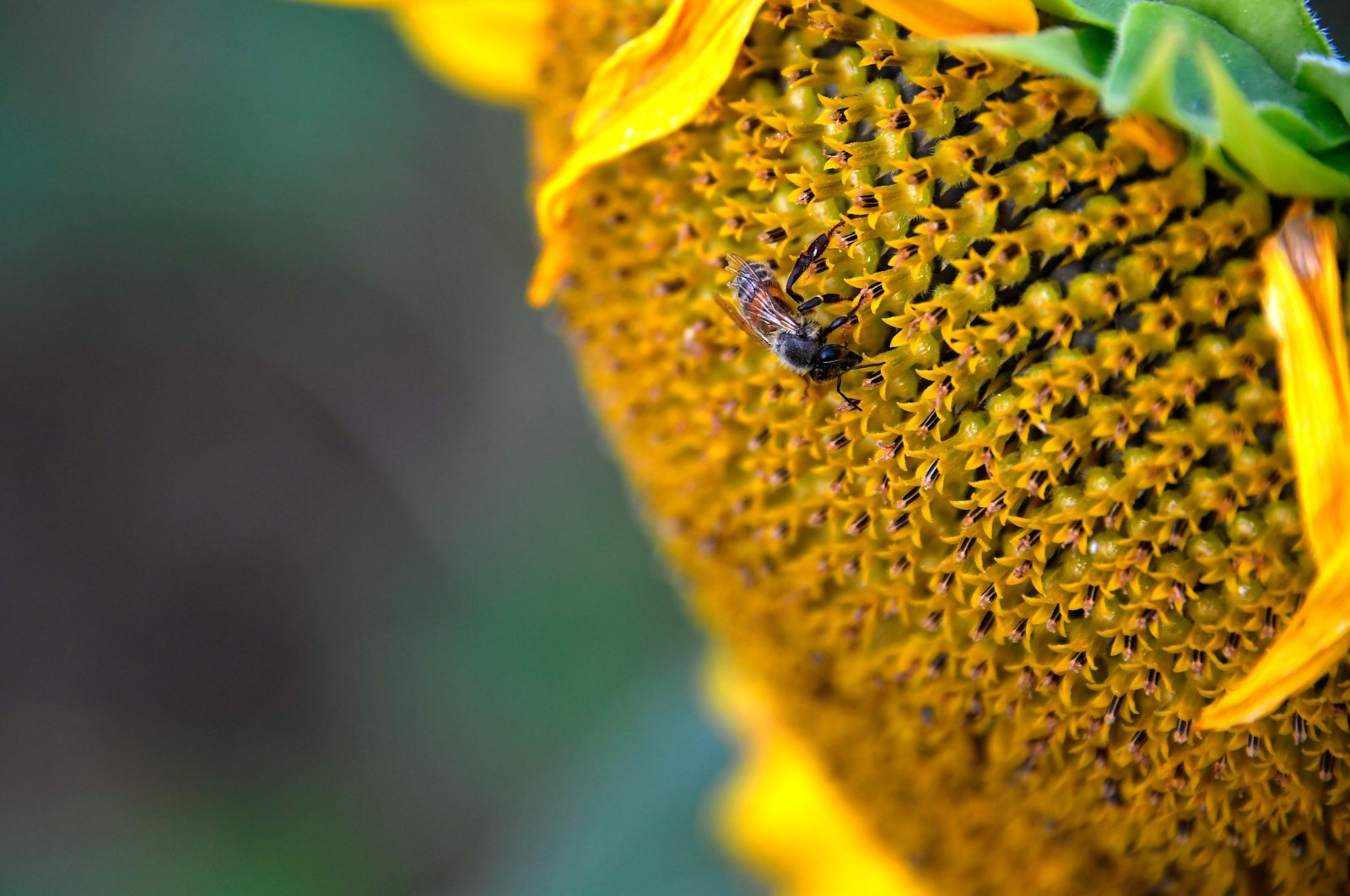 A bee gathers pollen from a sunflower in a field in Calmont, southwestern France, Aug. 4, 2020. (AFP Photo)