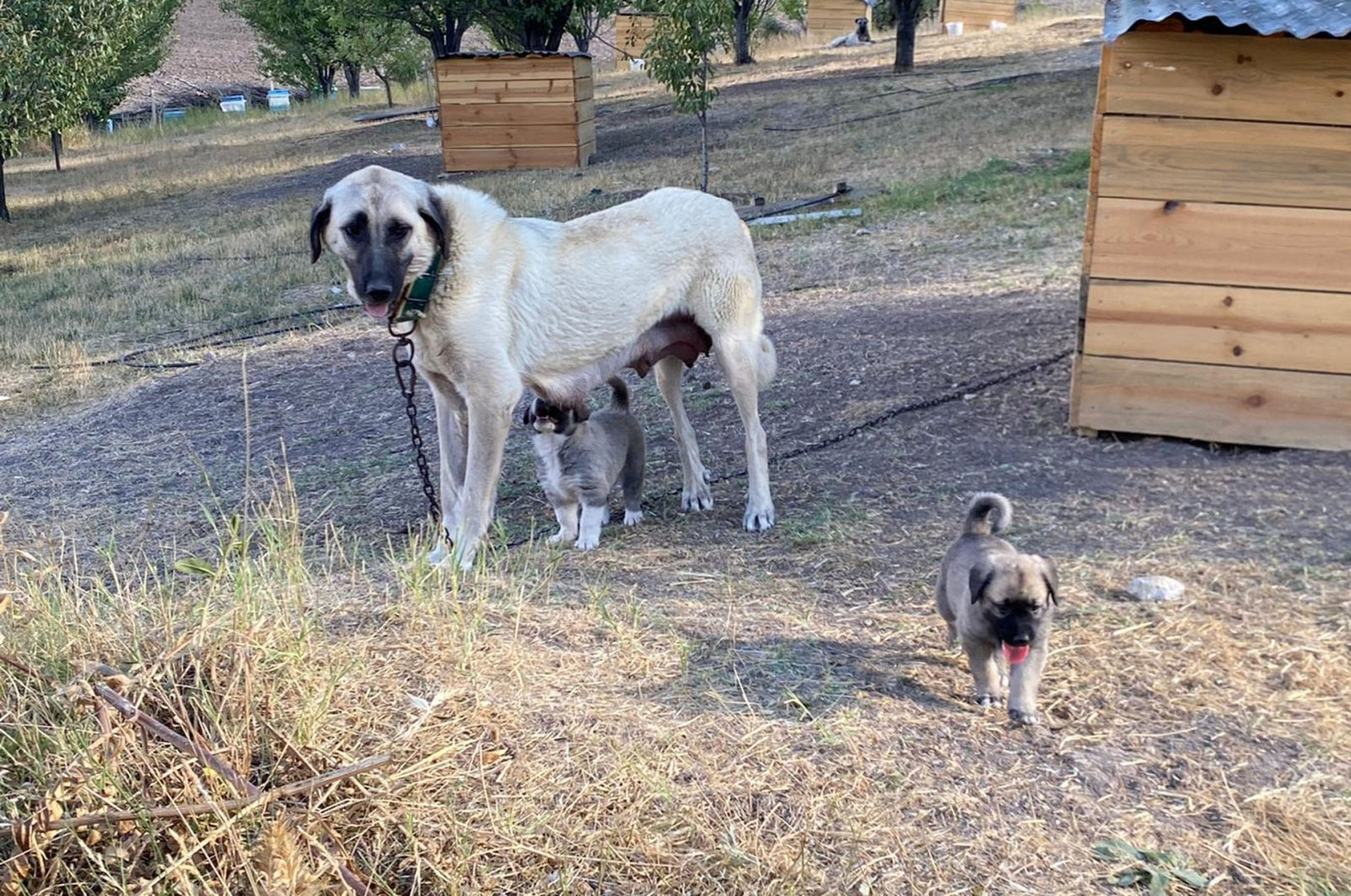 A Kangal dog nurses her puppy while another puppy plays nearby, in Sivas, central Turkey, Sept. 2, 2020. (DHA Photo)
