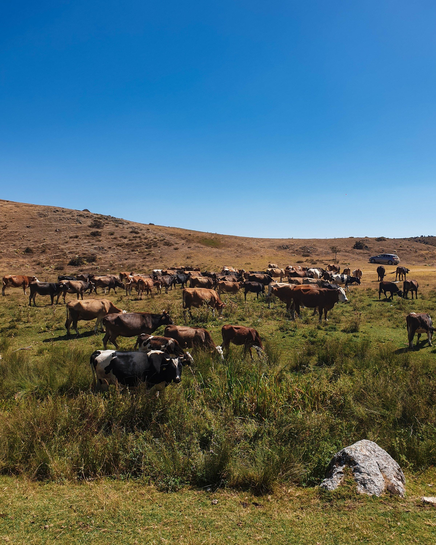 Photo shows a herd of cows grazing near Beyyyla Cave in Eskişehir. (Photo by Argun Konuk)