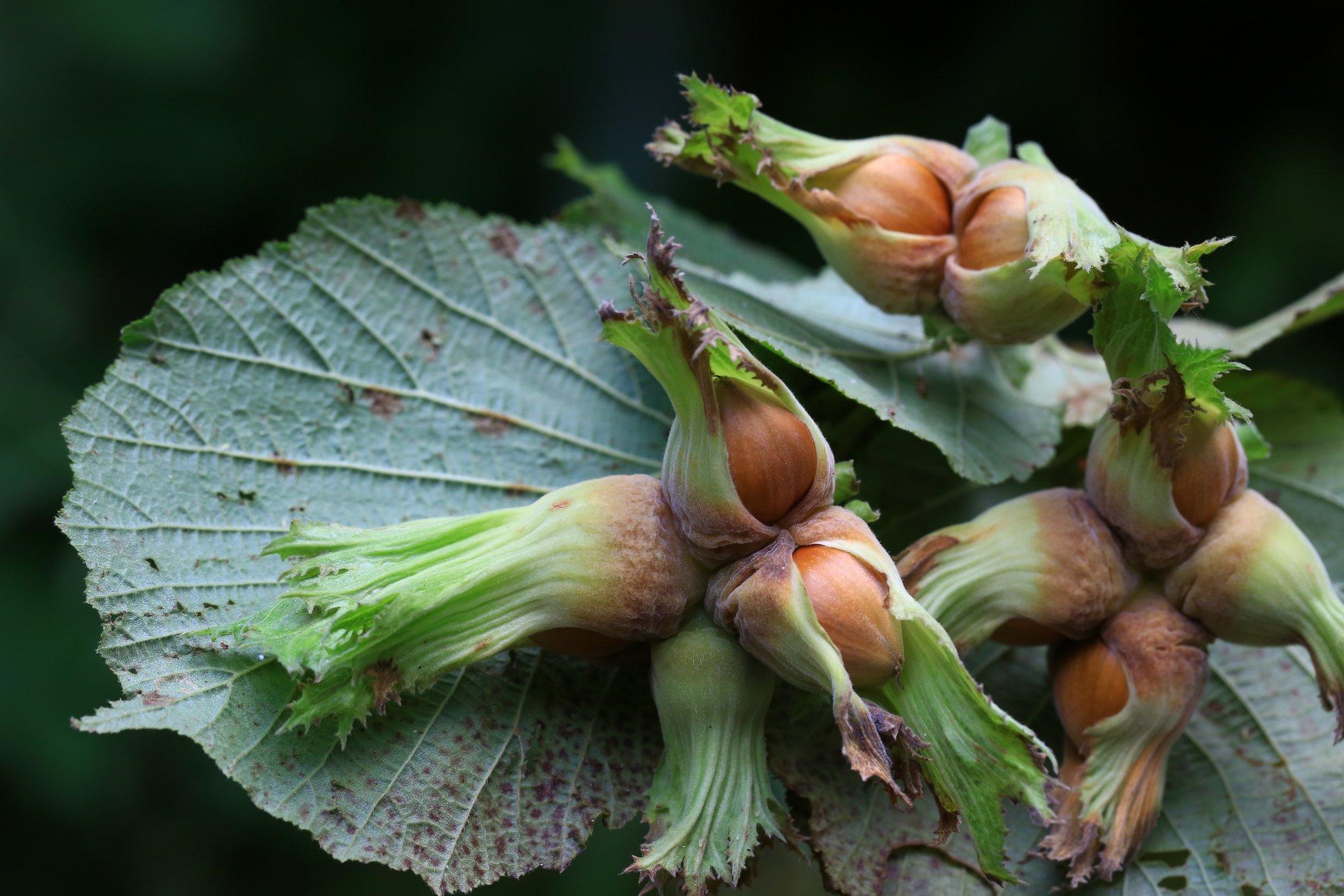 榛子树的果实。 (iStock Photo)