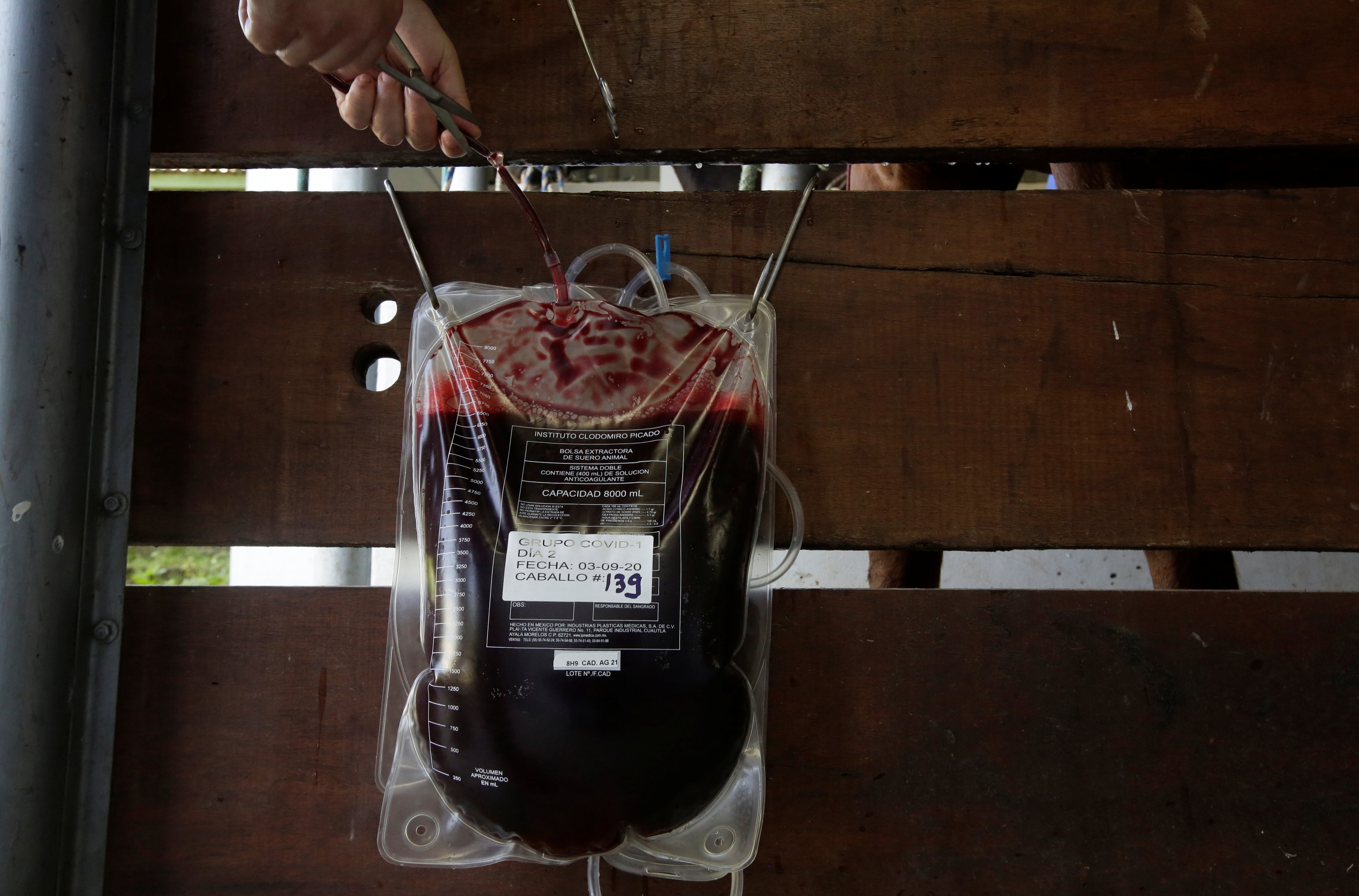 A worker cuts the probe after drawing blood from a horse for a trial to produce a treatment for COVID-19 in San Jose, Costa Rica, Aug. 3, 2020. (REUTERS Photo)