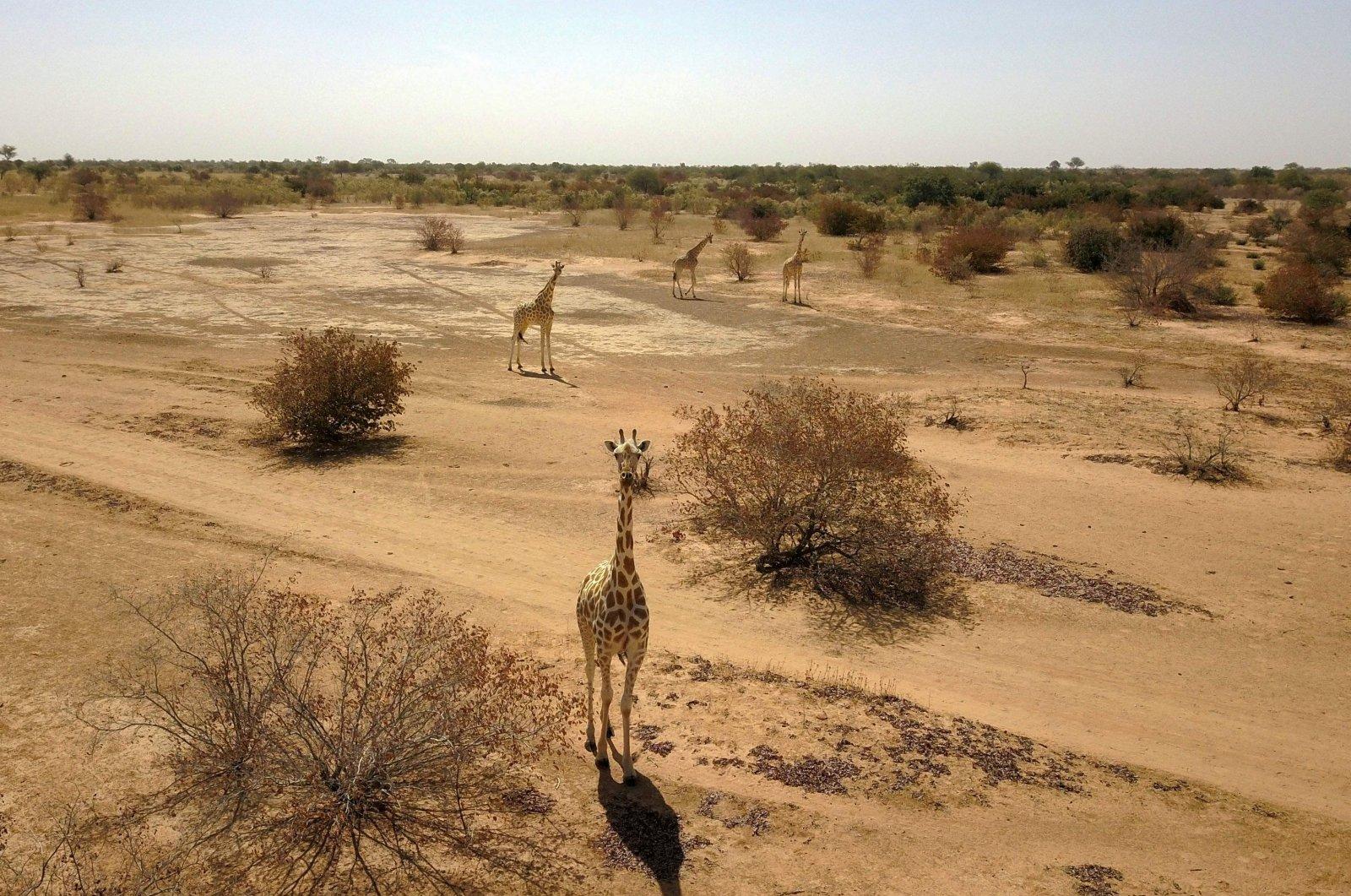 An aerial view shows giraffes in Koure, Niger on Feb. 25, 2020. (Photo by Souleymane Ag Anara via AFP)