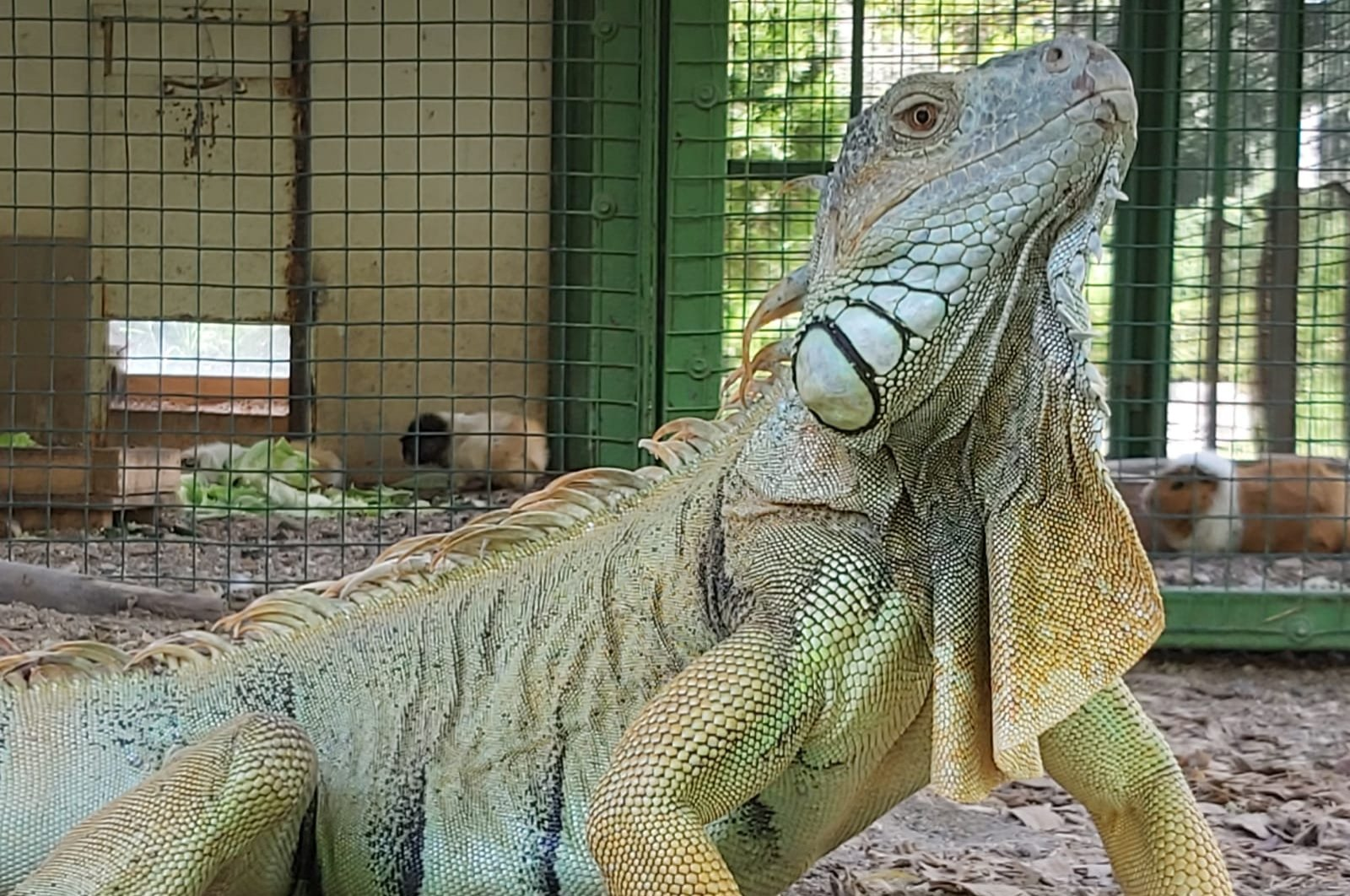 A newly arrived iguana is seen at the Tarsus Animal Park in the southern city of Mersin, Turkey, Sept. 8, 2020. (Mersin Metropolitan Municipality via AA)