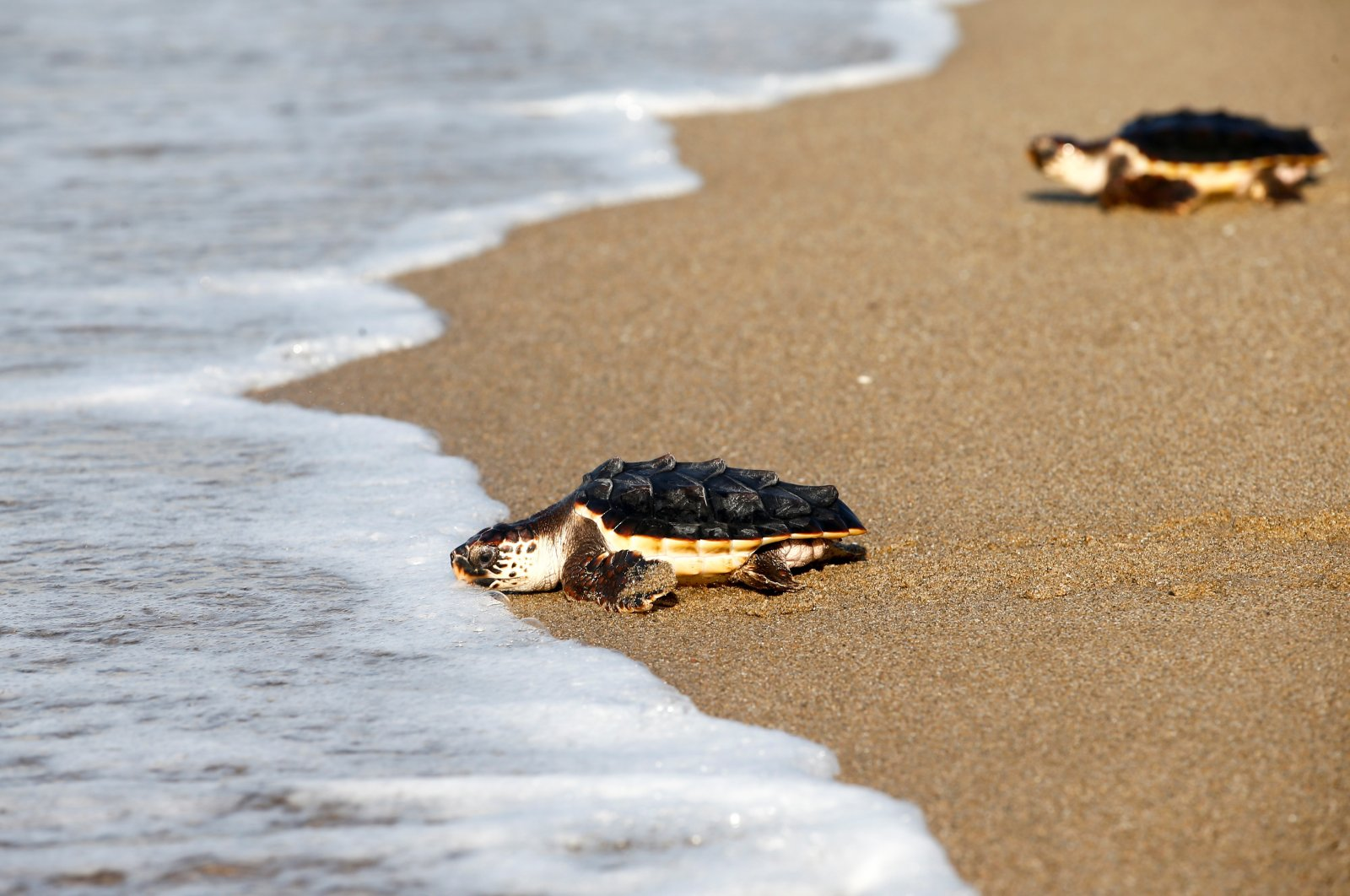 Loggerhead sea turtles are released by CRAM Foundation at a beach in Castelldefels, Barcelona, Spain, Aug. 26, 2020. (EPA Photo)