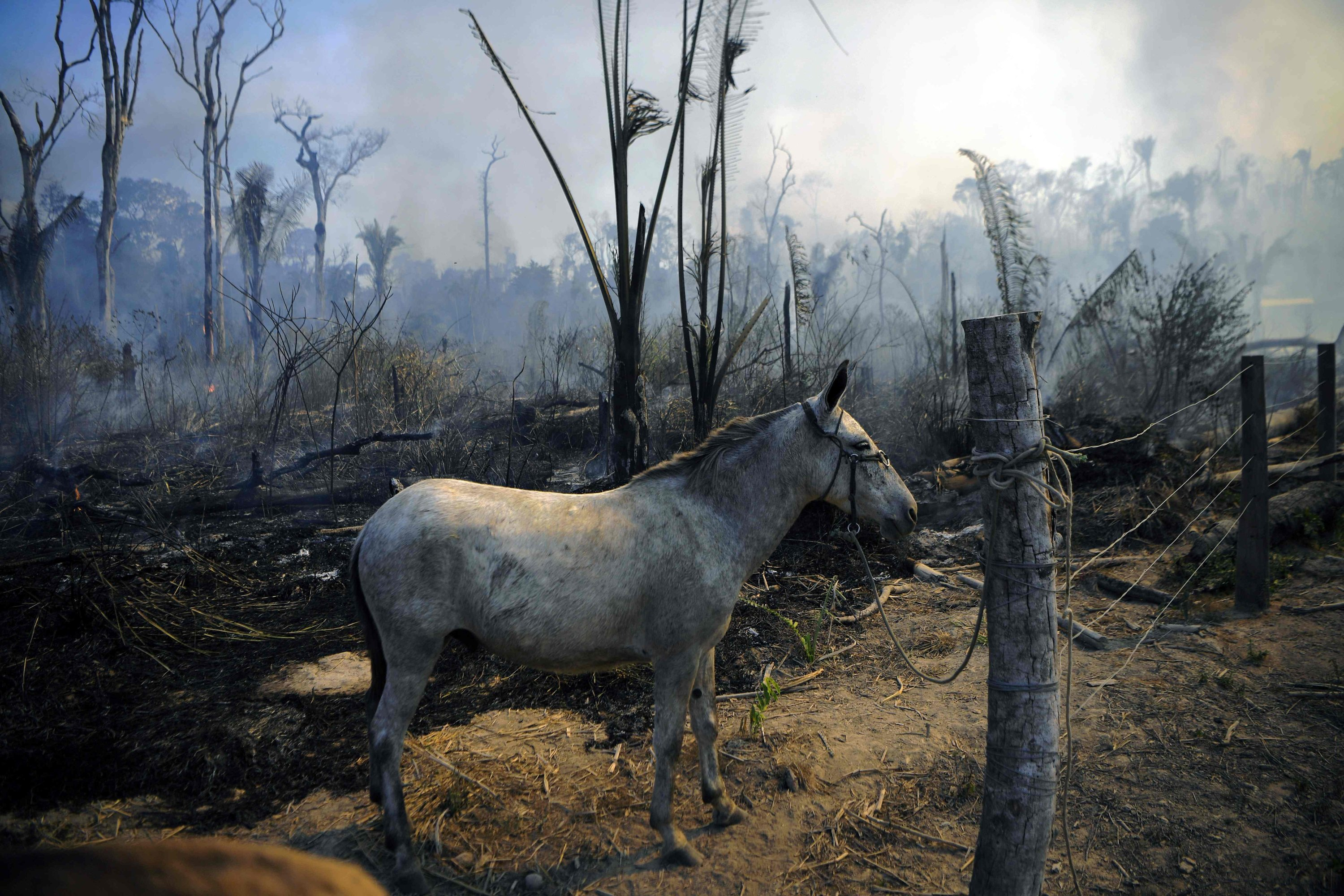 A donkey stands tied up next to a burnt area of Amazon rainforest reserve, south of Novo Progresso in Para state, on Aug. 16, 2020. (AFP Photo)