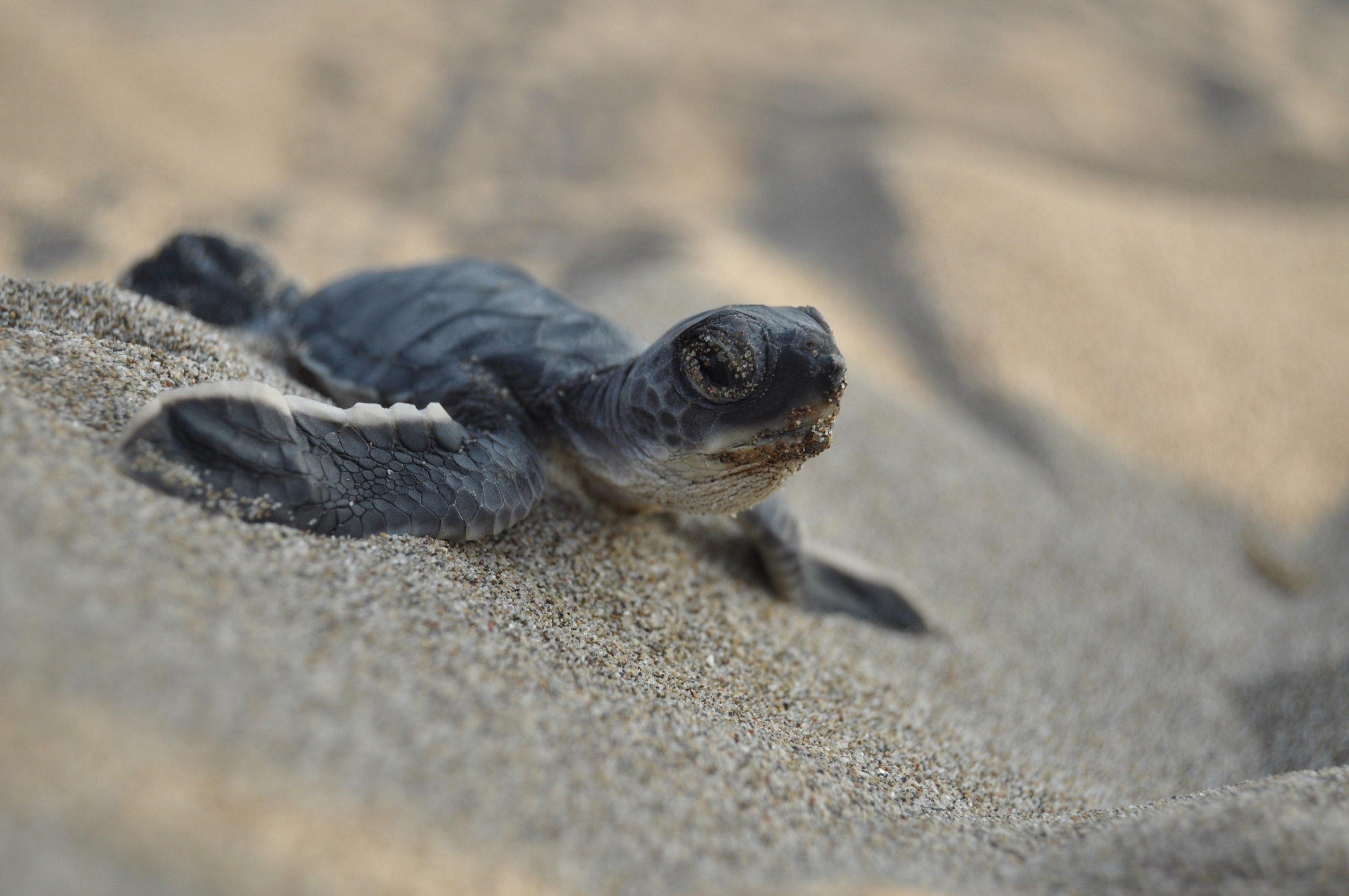 Photo shows a green sea turtle (Chelonia mydas) on a beach on the coast of Akyatan, Adana, southern Turkey. (Photo courtesy of WWF)