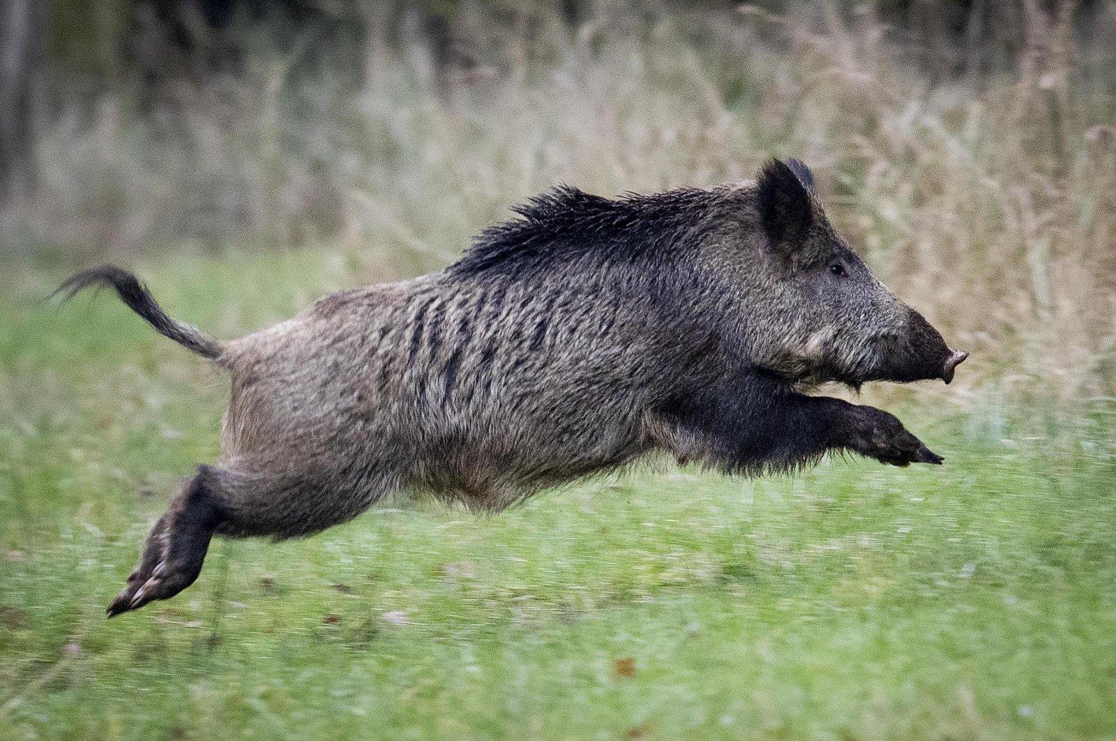 In this file photo, a wild boar jumps in the Taunus region near Frankfurt, Germany, Nov. 9, 2019. (AP Photo)