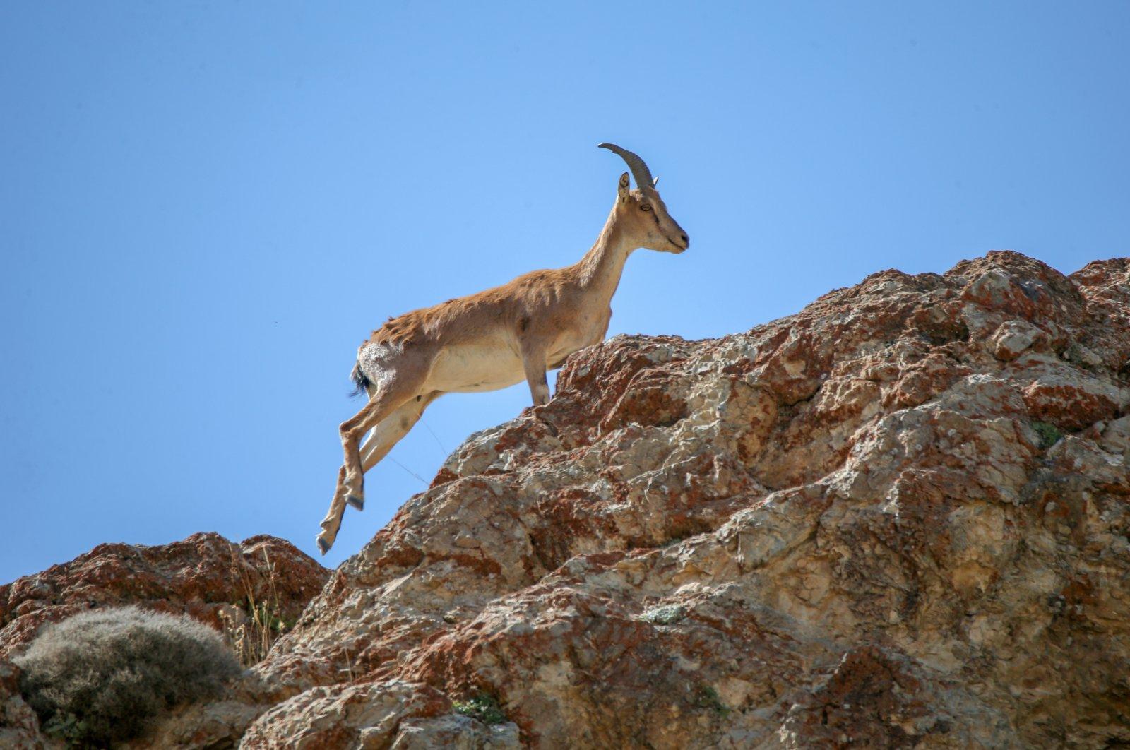 A wild goat climbs a rock in Van, eastern Turkey, Sept. 14, 2020. (AA Photo)
