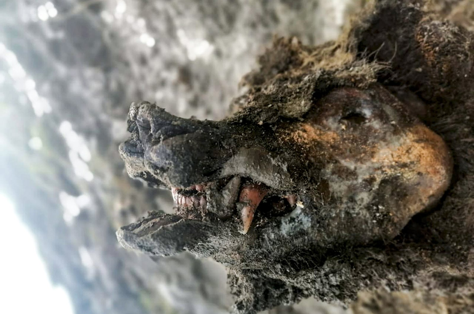 The head of an Ice Age cave bear found on Bolshoy Lyakhovsky Island, or Great Lyakhovsky, the largest of the Lyakhovsky Islands belonging to the New Siberian Islands archipelago between the Laptev Sea and the East Siberian Sea in northern Russia. (North-Eastern Federal University via AP)