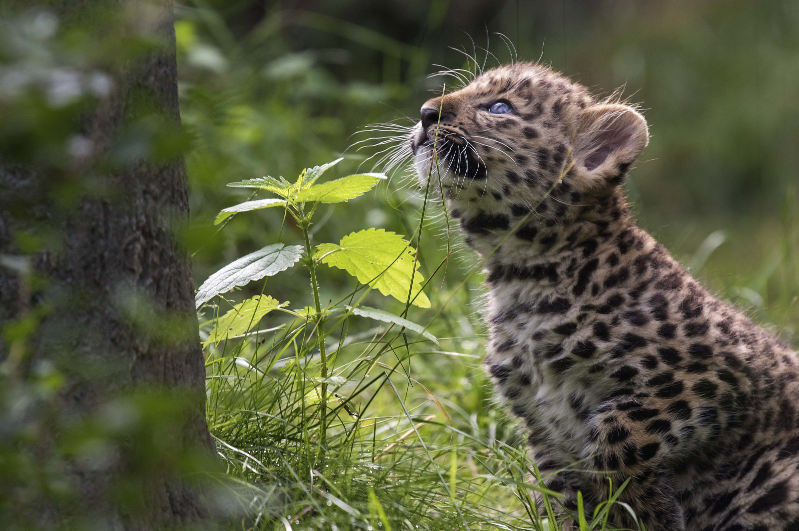 An Amur leopard cub, one of the many animal species at risk of extinction, in his enclosure in a zoo in Leipzig, Germany, June 27, 2017. (AP Photo)